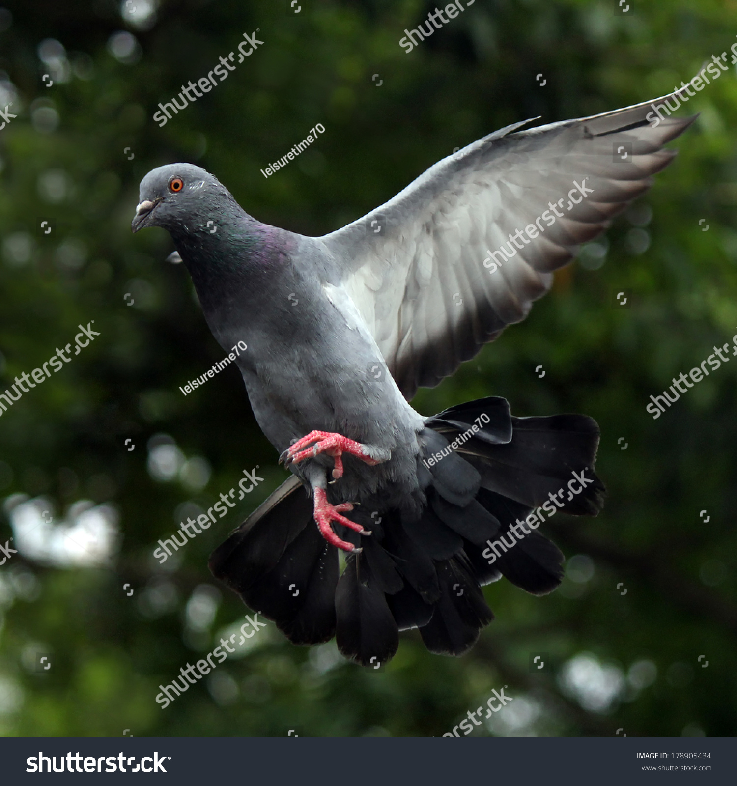 Flying pigeon natural stock photo 178905434 shutterstock flying pigeon in the natural buycottarizona