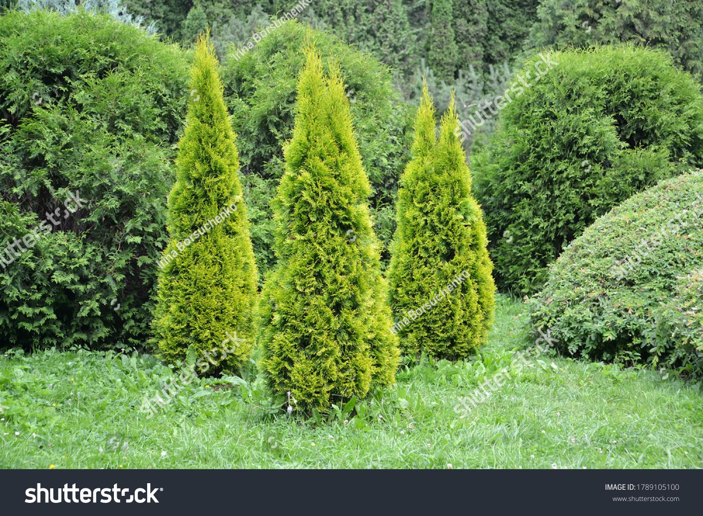 Thuja western, variety Golden Smaragd (Thuja occidentalis L.). Planting conifers #1789105100