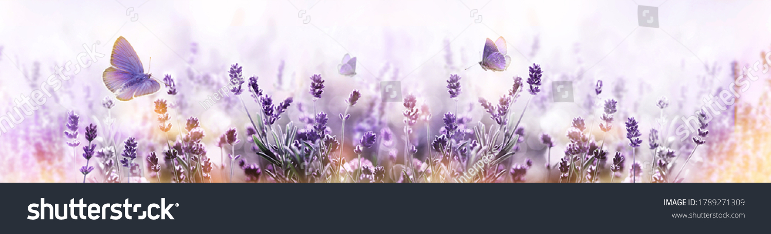 Blossoming Lavender flowers and flying butterfly in summer morning background . Purple growing Lavender panoramic view #1789271309