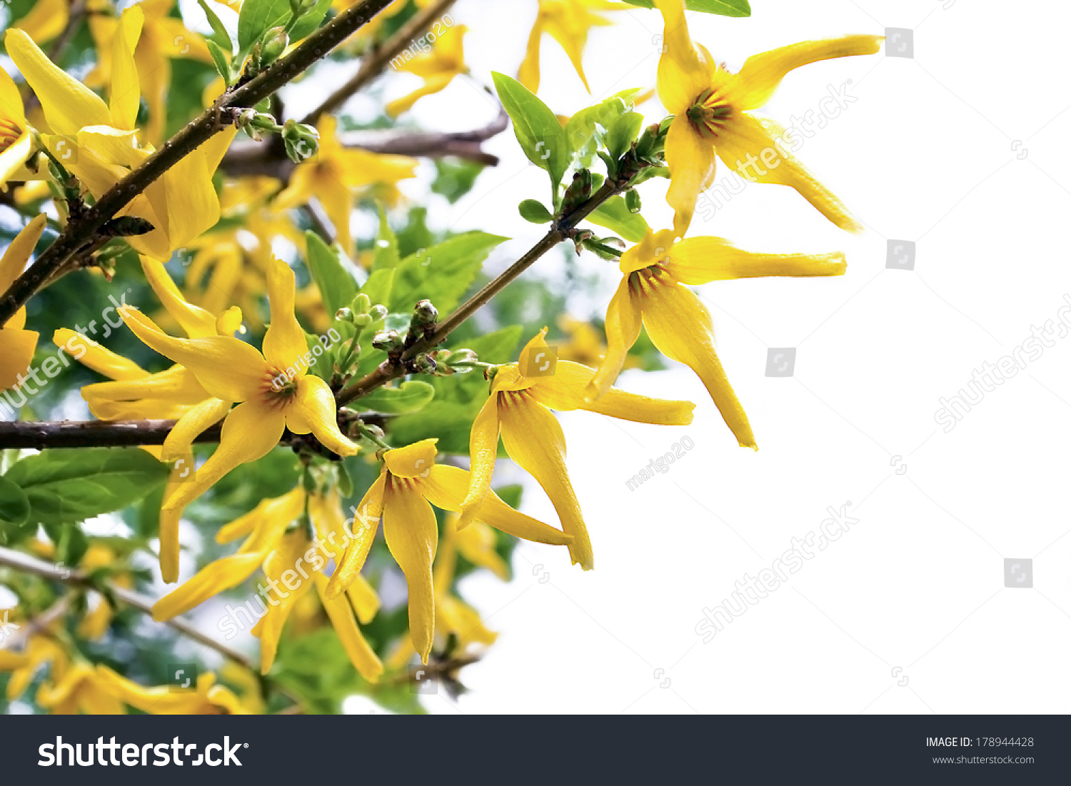 Garden Yellow Flowers Bush Forzitsia Bloom Stock Photo Edit Now
