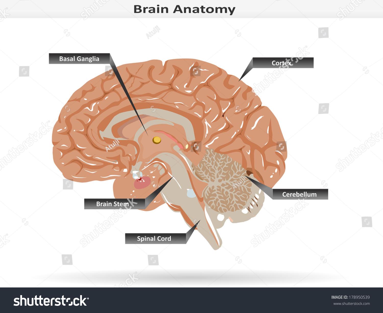 Brain Anatomy Basal Ganglia Cortex Brain Stock Vector (Royalty Free ...