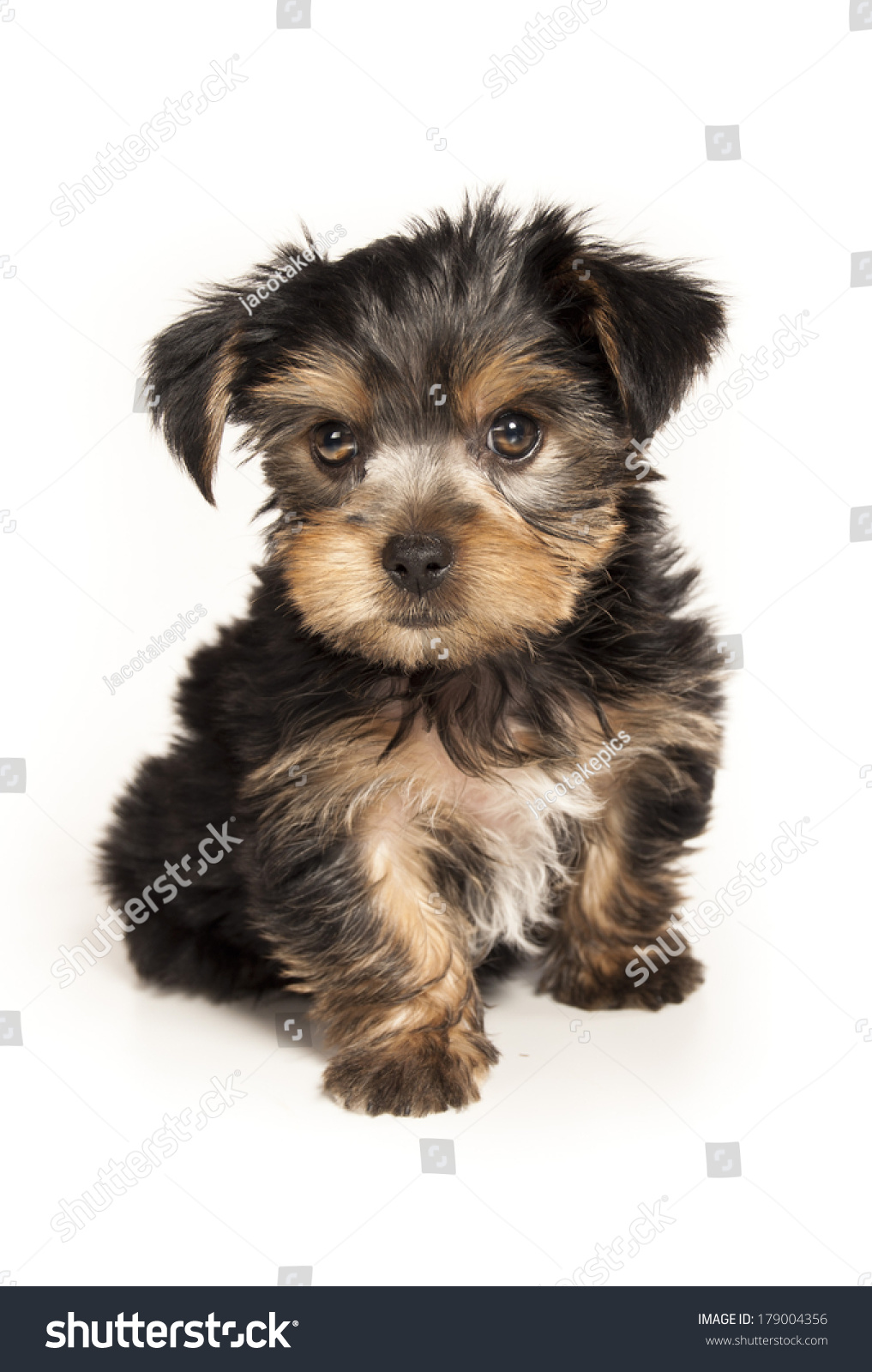 Yorkie Puppy Isolated On White Background Ez Canvas