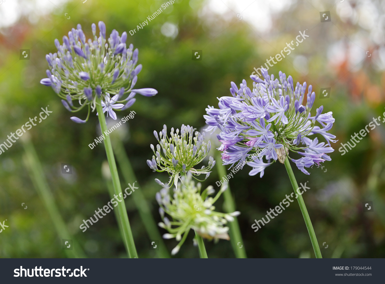 Beautiful lily nile flowers kenya stock photo 179044544 shutterstock beautiful lily of the nile flowers kenya izmirmasajfo Images