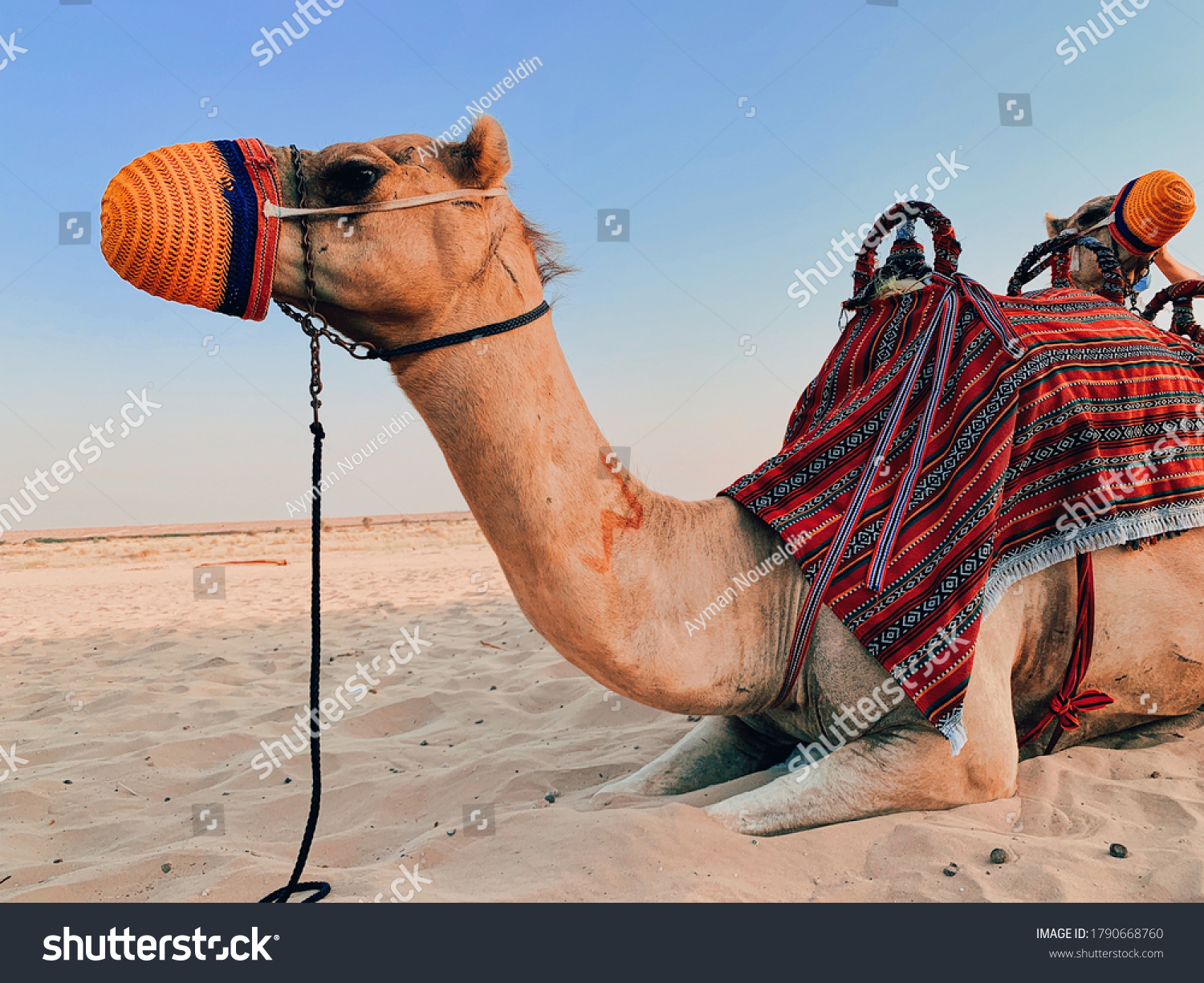 stock-photo-closeup-look-at-camel-with-n