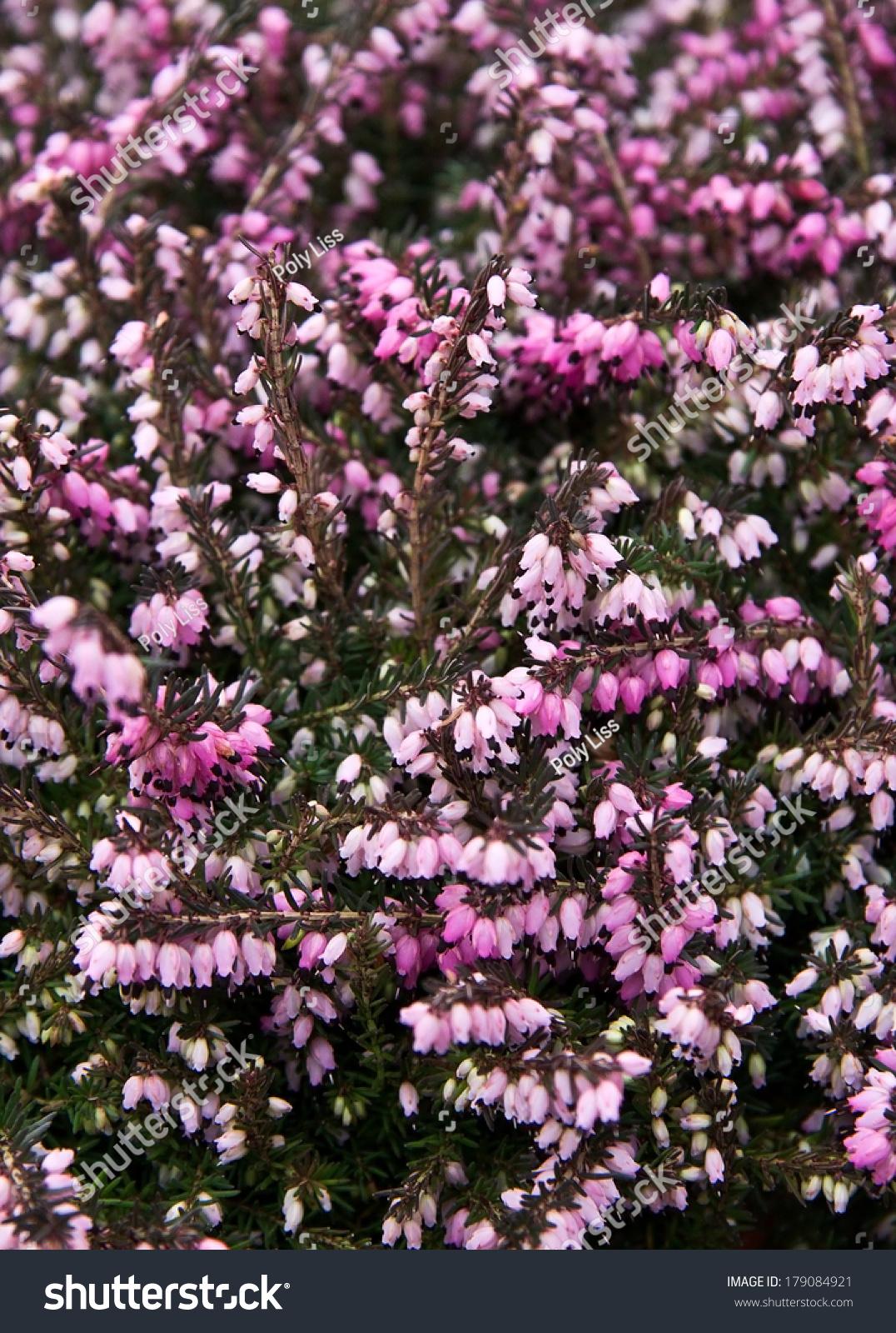 Pink Winter Heath Flowers Stock Photo Edit Now 179084921