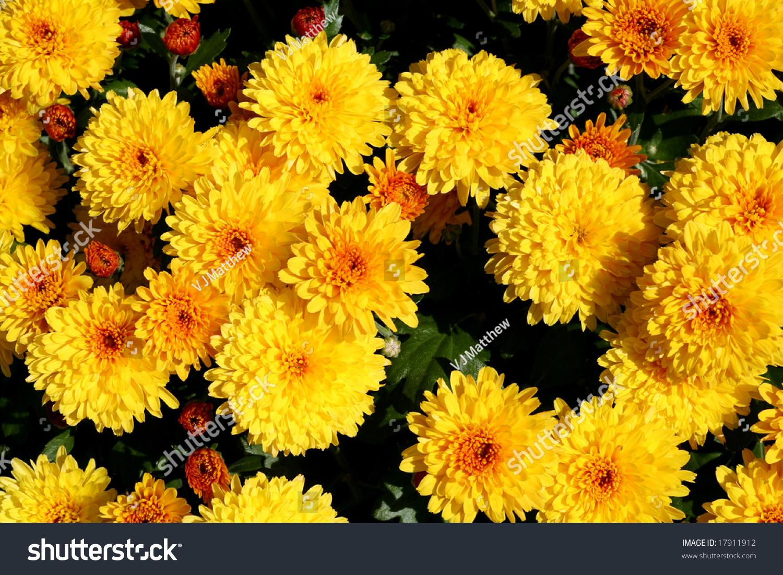 Common Yellow Garden Flowers bright yellow fall chrysanthemum common garden stock photo