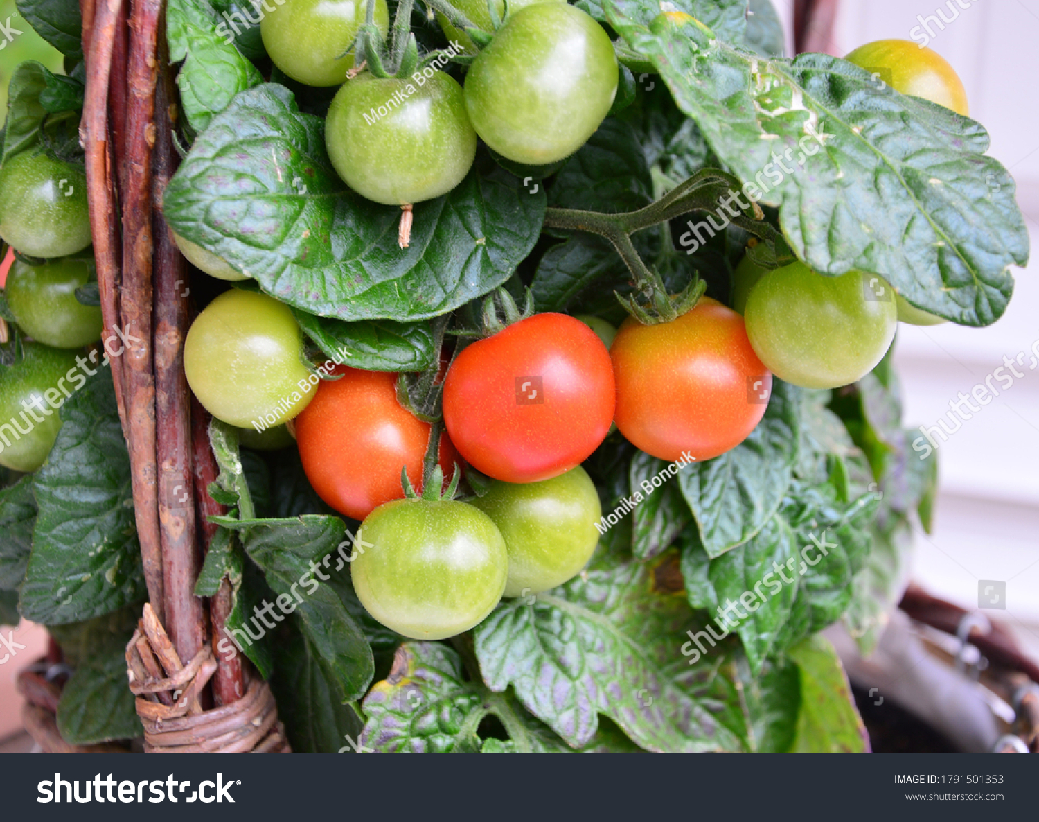 stock-photo-a-bush-with-red-and-green-to
