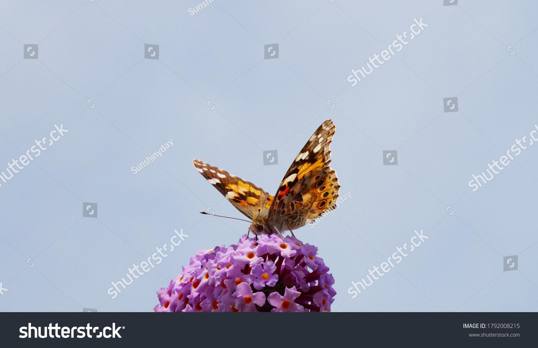 stock-photo-butterfly-small-fox-aglais-u