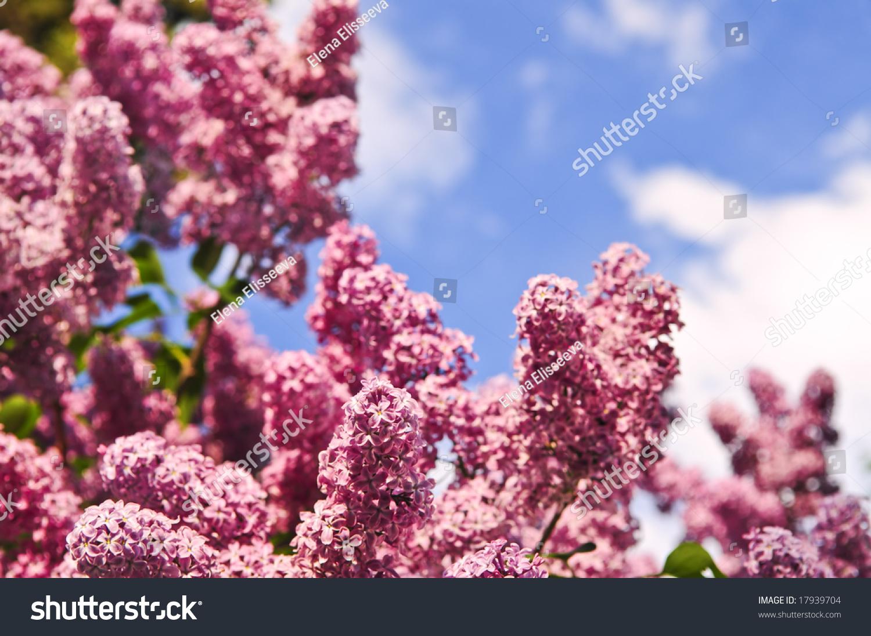 Abundant Flowers Purple Lilac Blooming Late Stock Photo Edit Now