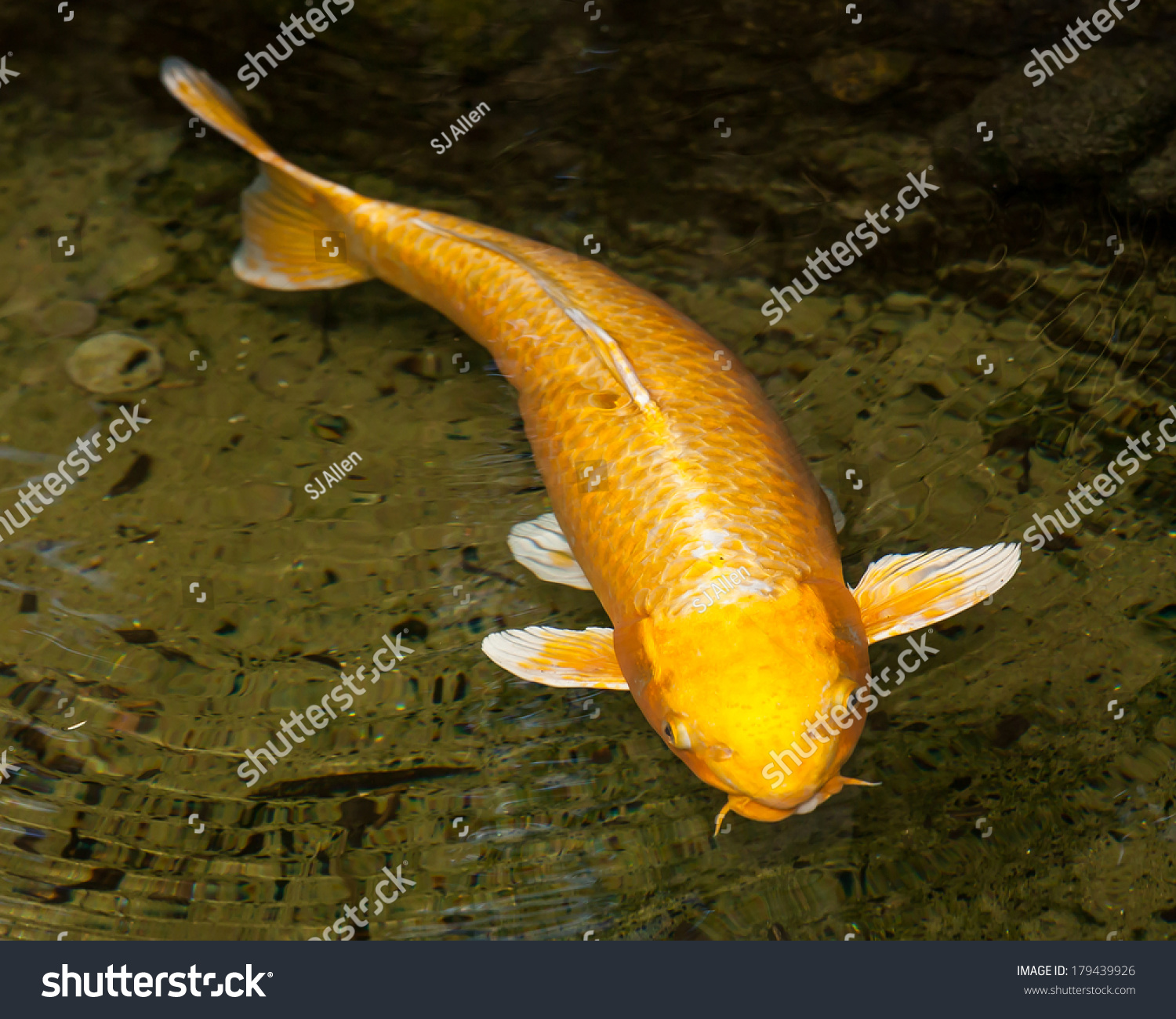 Golden ogon koi cyprinus carpio with white fins swimming for Golden ornamental pond fish crossword