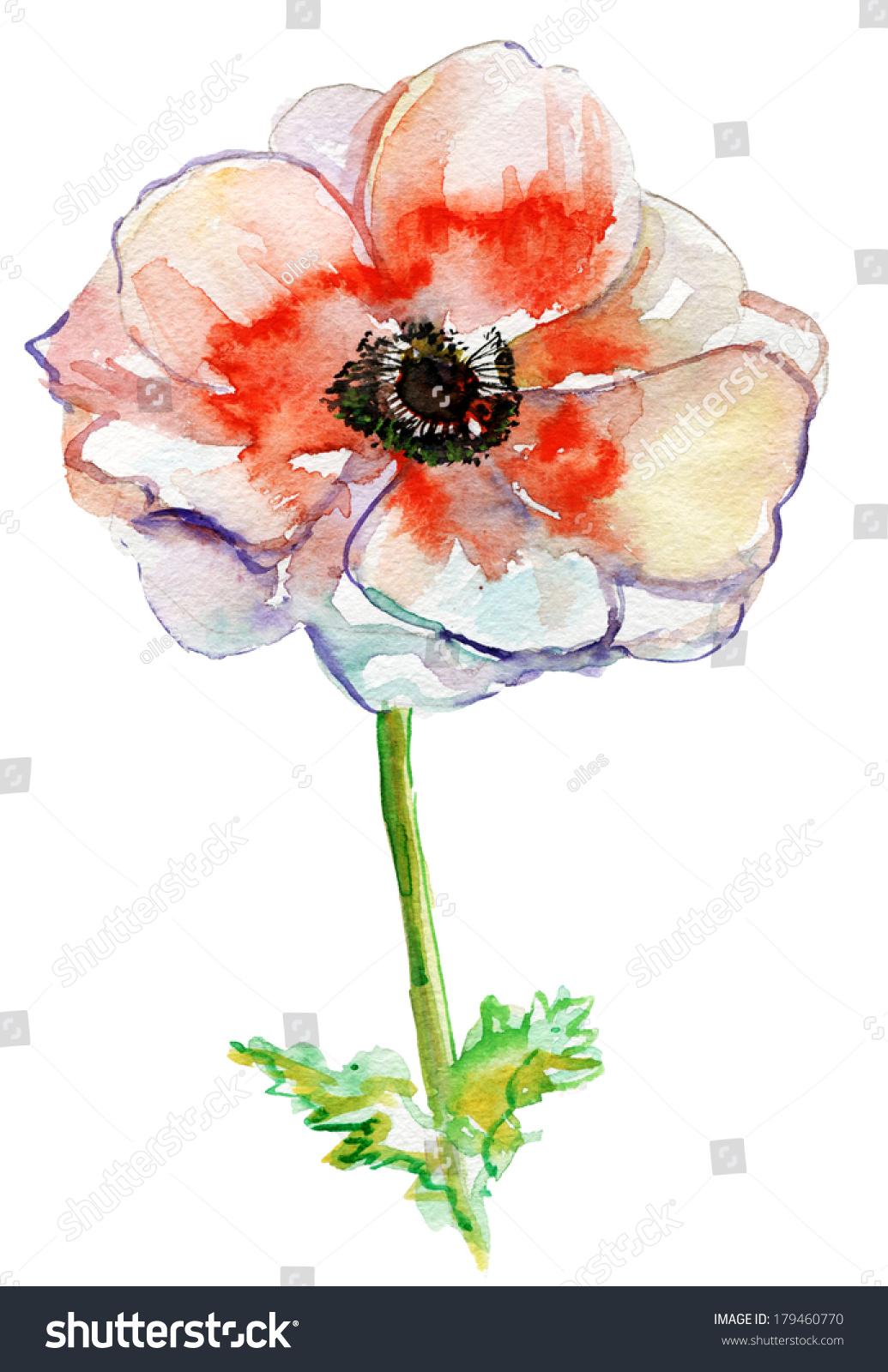 Poppy Flower Watercolor Illustration Stock Illustration 179460770