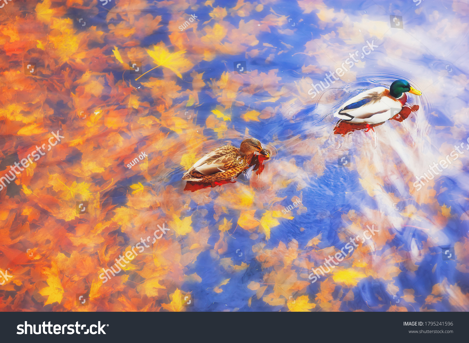 Two mallard ducks on a water in dark pond with floating autumn or fall leaves, top view. Beautiful fall nature . Autumn october season animal, landscape background. Vibrant red orange nature colors #1795241596