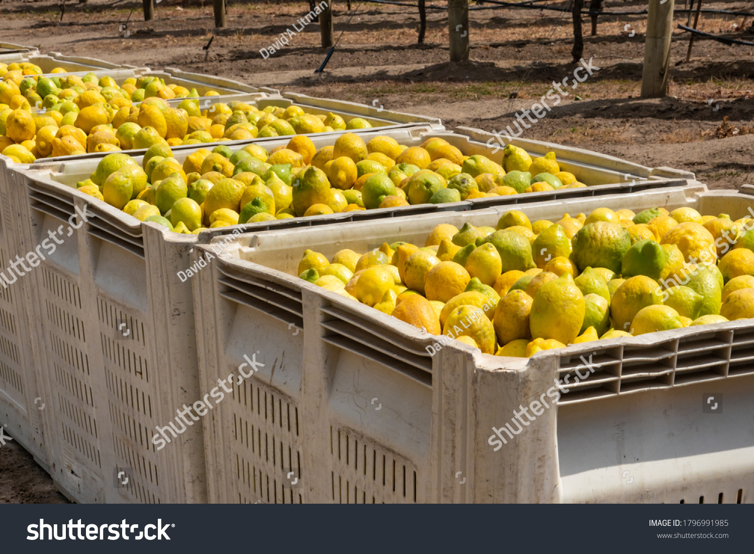 Crates of freshly picked lemons ready for shipping, in the Salinas Valley of central California, in Monterey County,