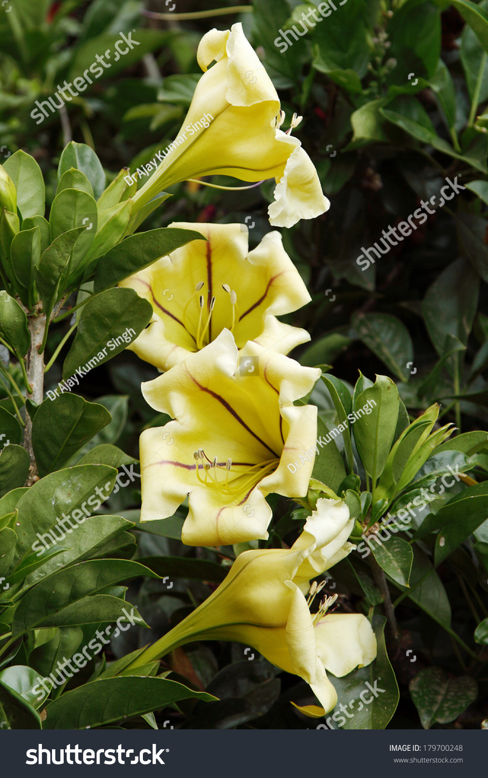 Royalty Free Yellow Cup Of Gold Vine Solandra 179700248 Stock Photo