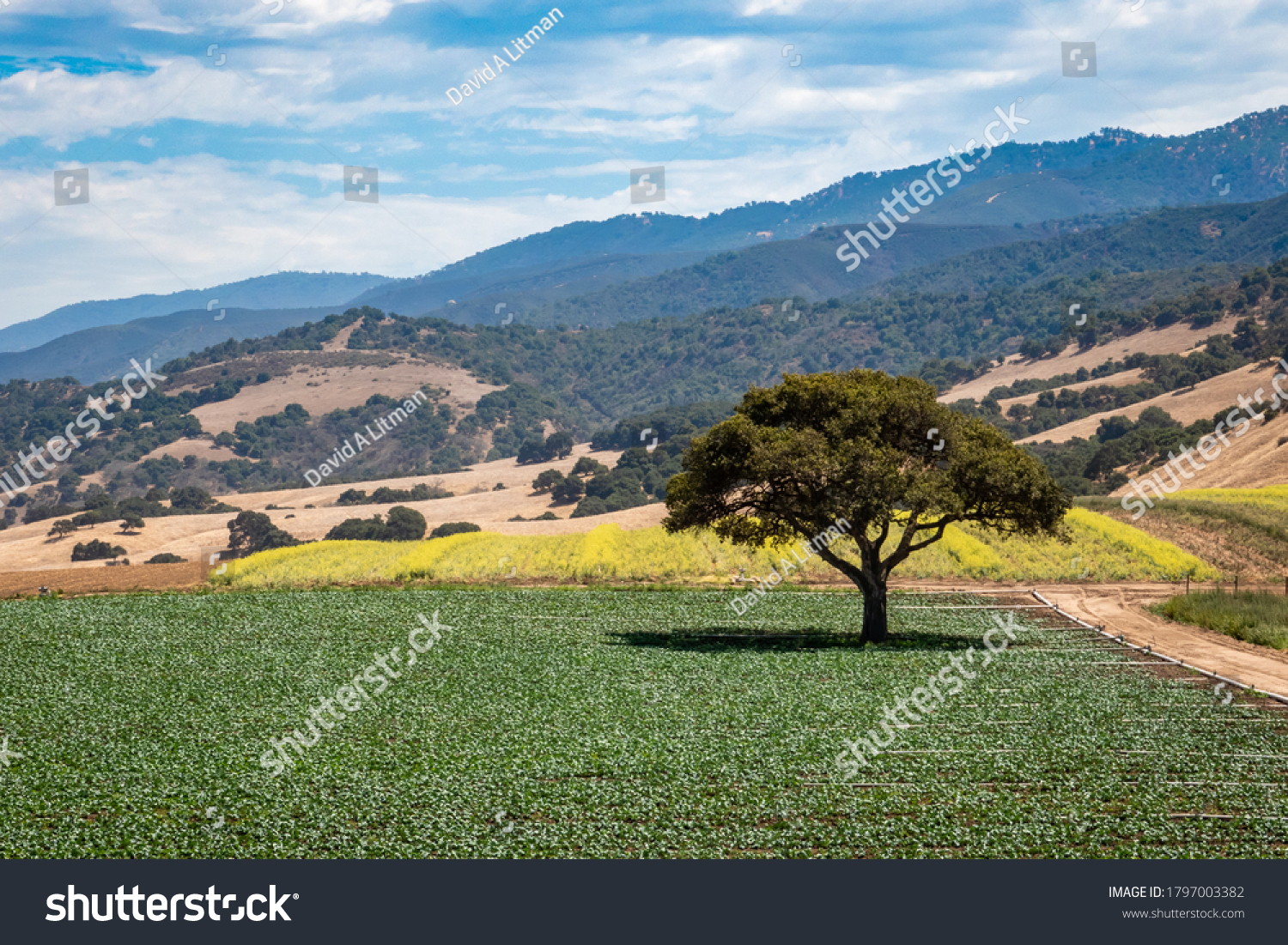 A coastal live oak tree stands alone on a field of lettuce crops, in the Salinas Valley of central California, in Monterey County.