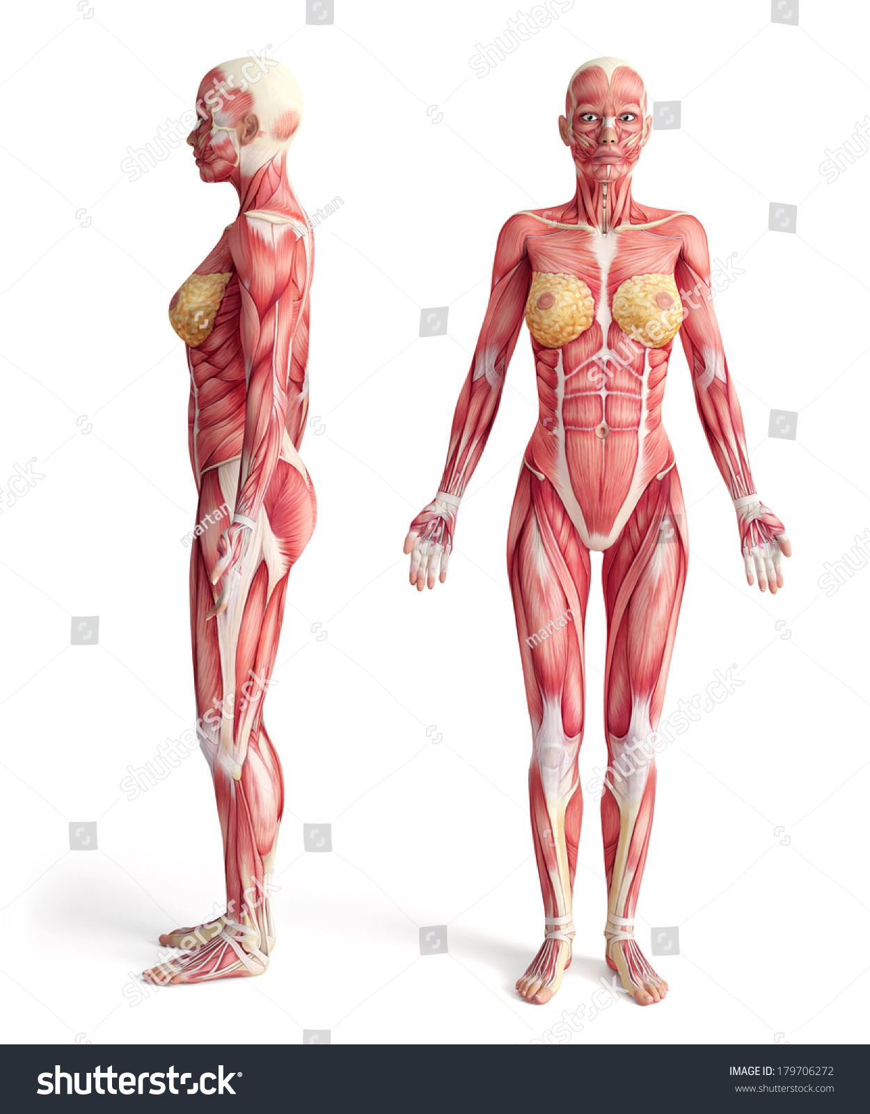 Female human anatomy