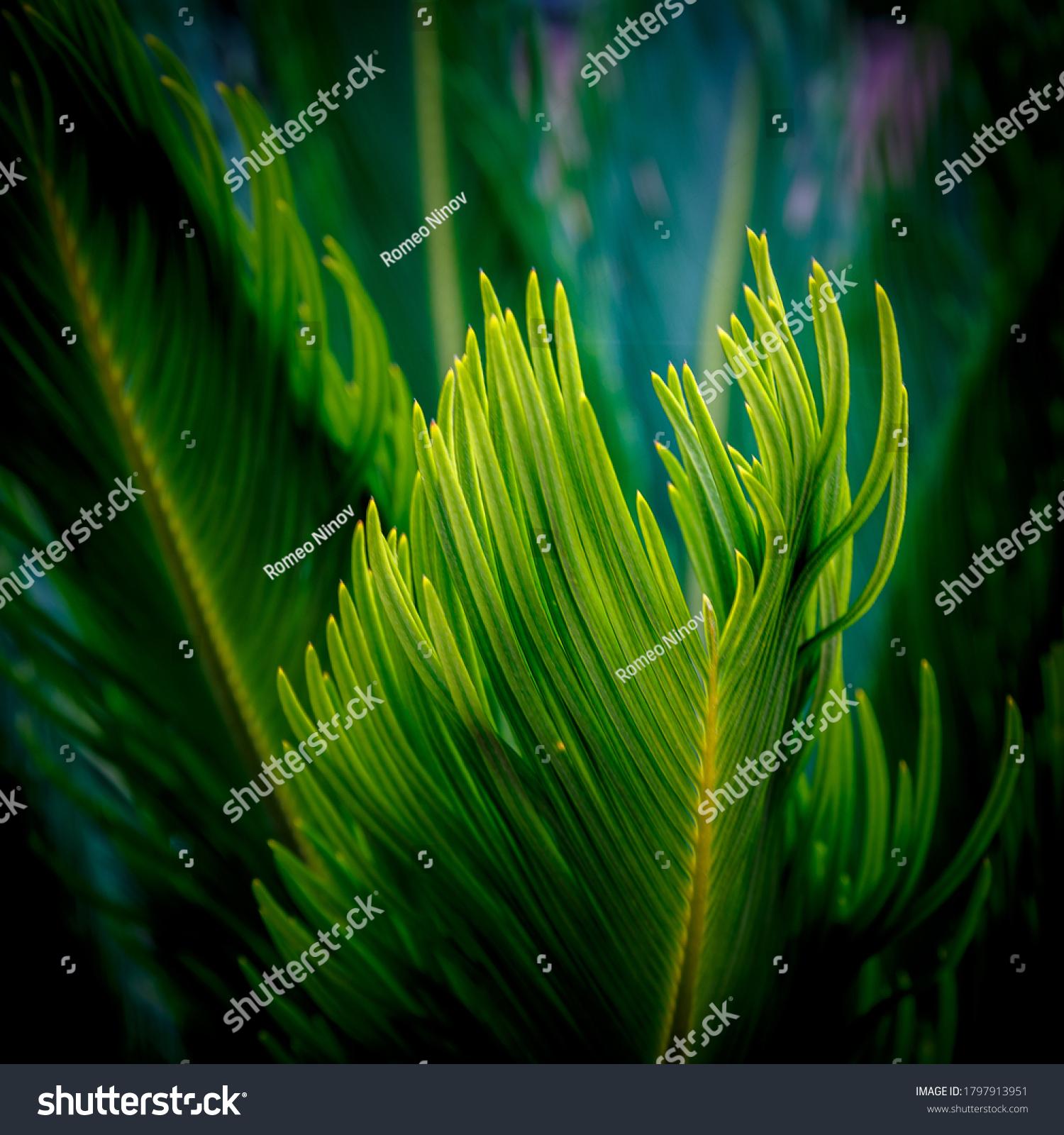 Tips of evergreen leaves in garden