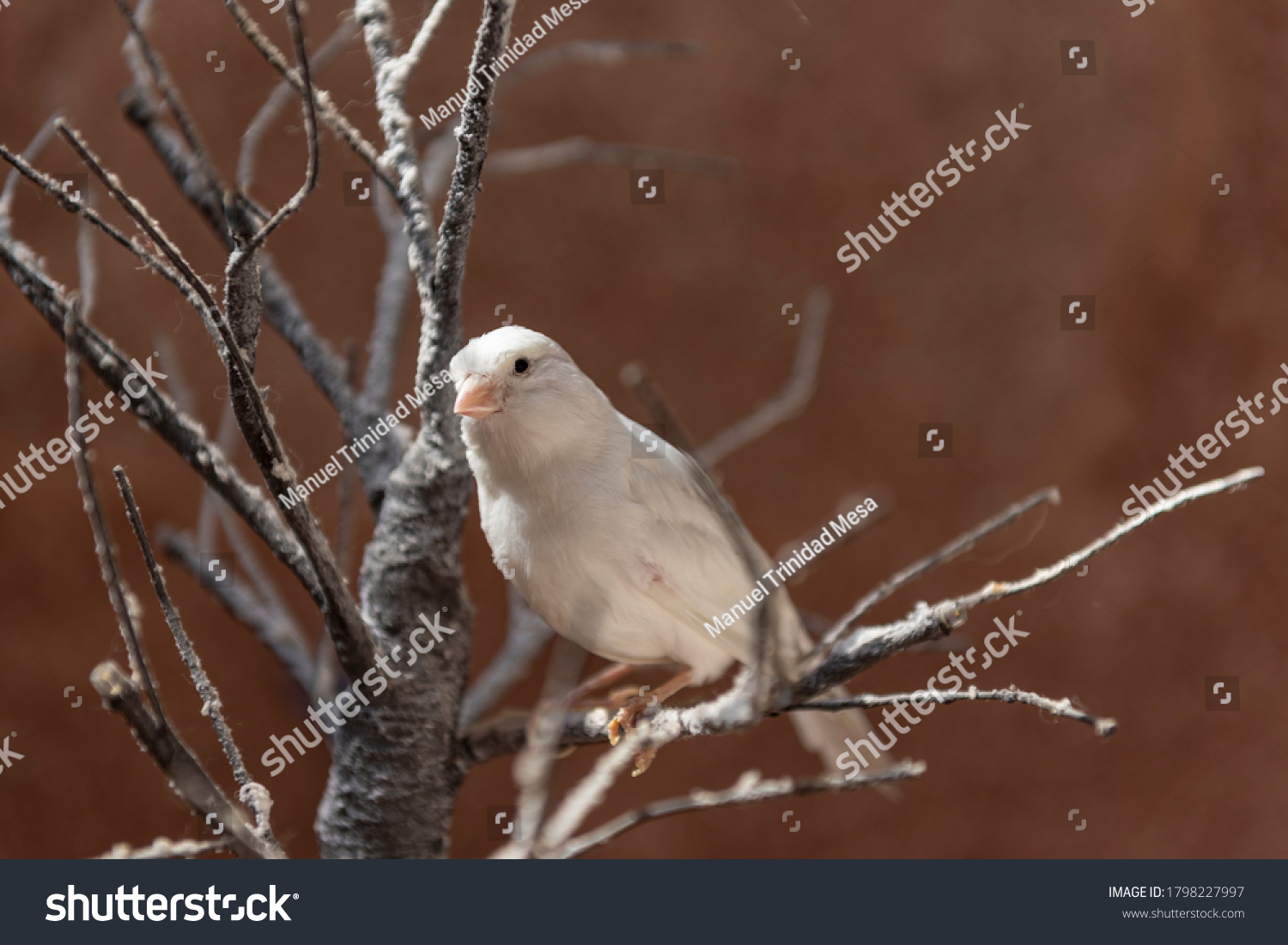 stock-photo-a-white-canary-on-a-branch-1