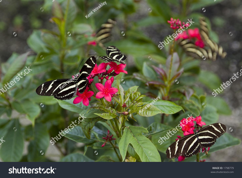 group many zebra long wing butterflies stock photo 1798779