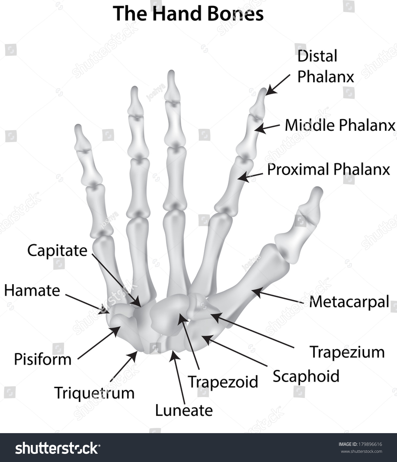 Labeled Hand Bones Diagram Carpals Stock Photo 179896616 ...