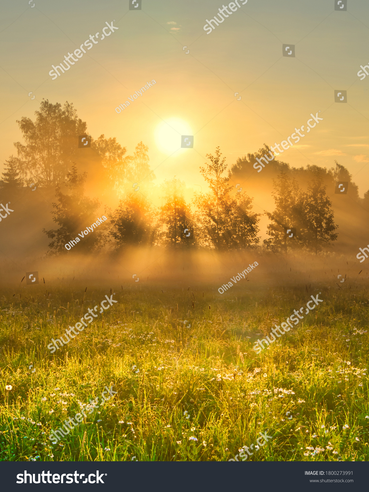 Early morning scenery in field. Sun casting beautiful rays of light through the mist and trees. Vibrant rays of sunlight in hazy meadow. Chamomile field in sunshine. Yellow sunrise with fog in summer. #1800273991