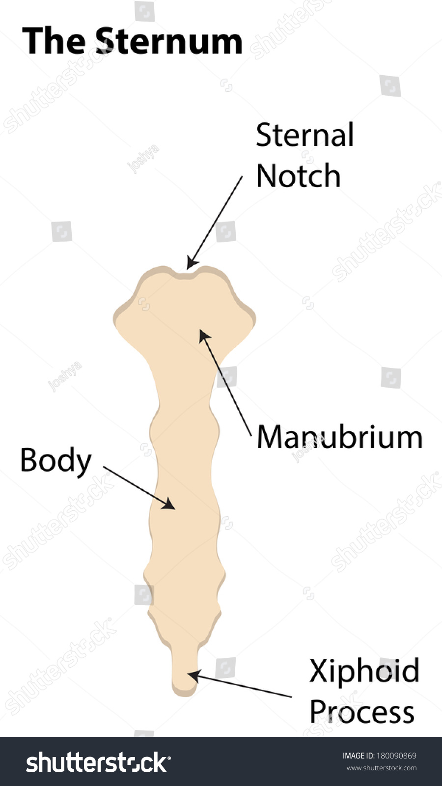Sternum Labeled Diagram Stock Illustration 180090869 - Shutterstock