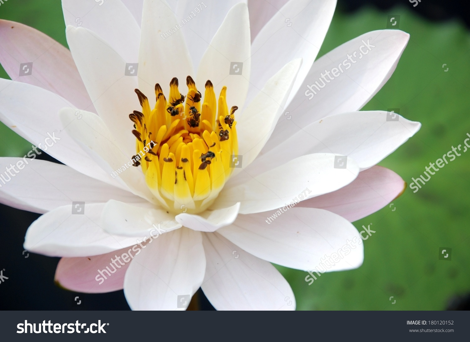 Water Lily Scent Asian Exotic Flower Stock Photo Royalty Free