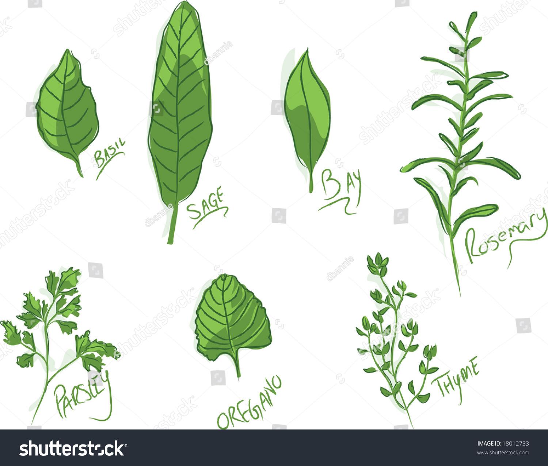 Group Handillustrated Culinary Herbs Names Stock Vector 18012733 ...