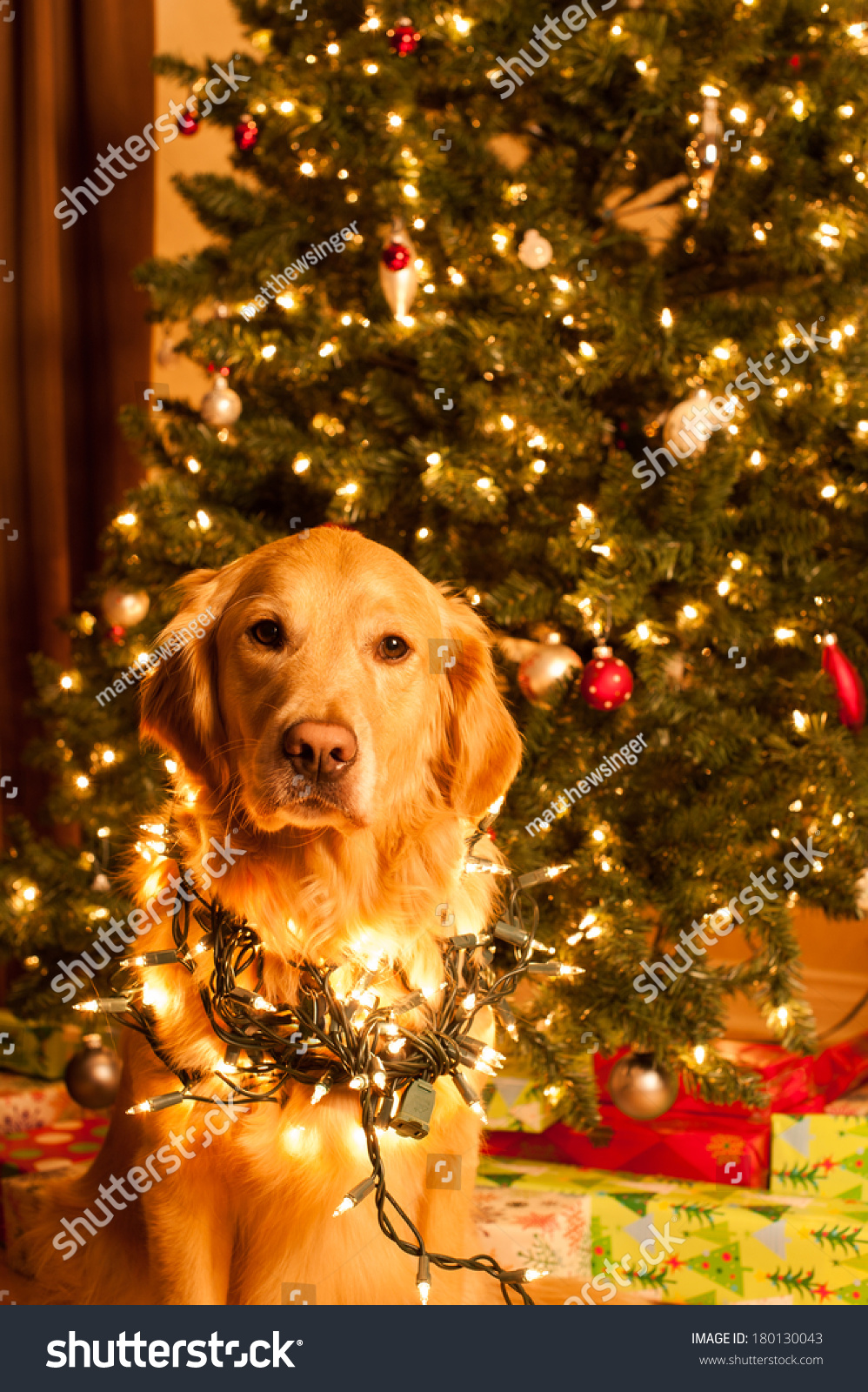 a golden retriever dog sits wrapped in christmas lights in front of a christmas tree - Dog Christmas Lights