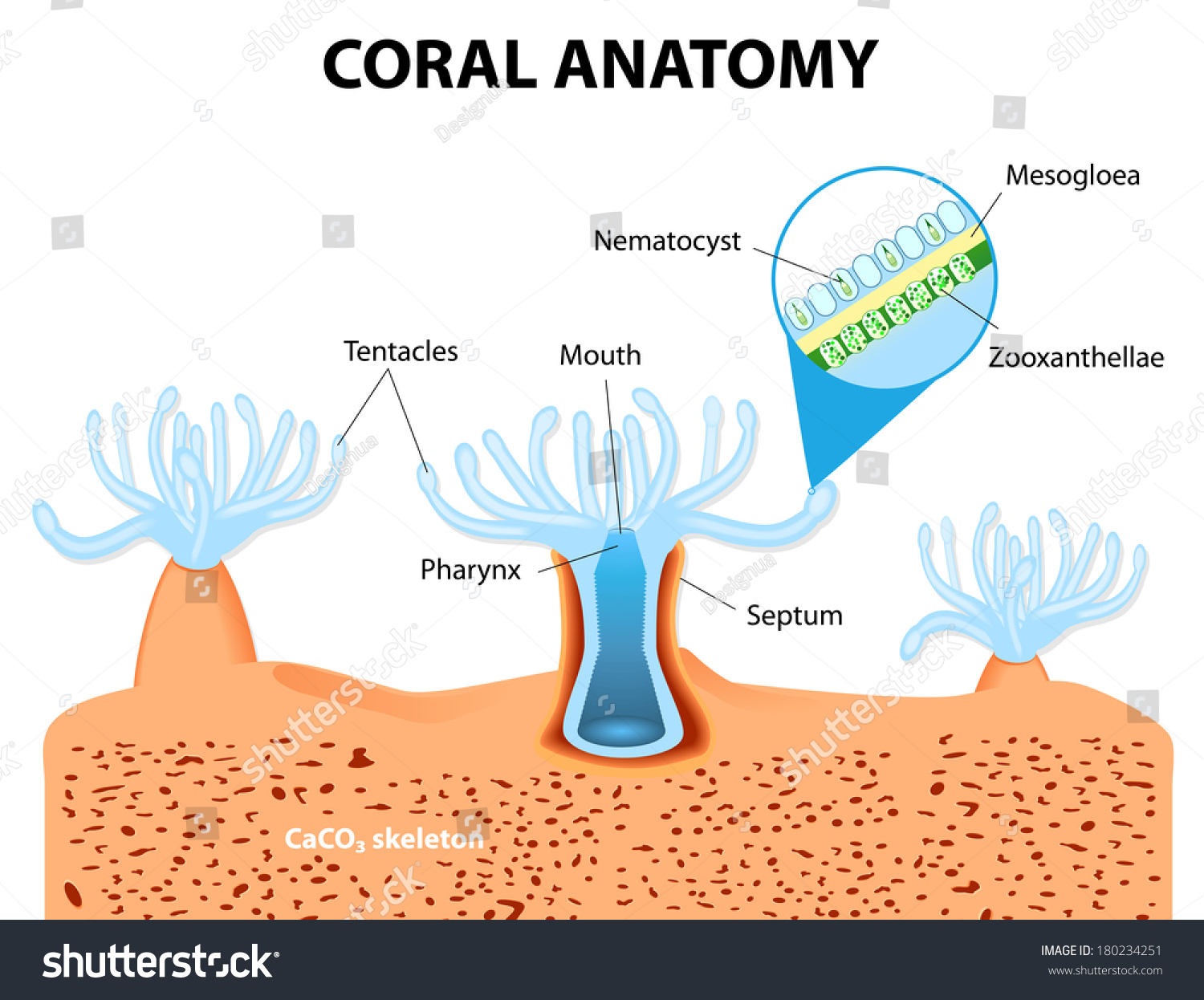 Structure Coral Polyp Coral Anatomy Coral Stock Illustration ...