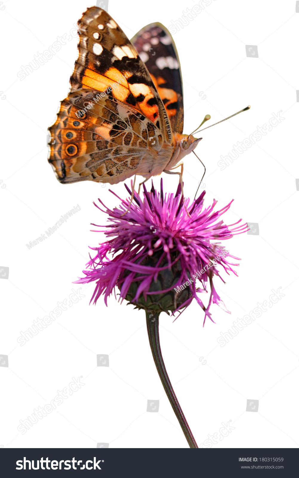 Butterfly Species Vanessa Cardui Painted Lady Stock Photo ...