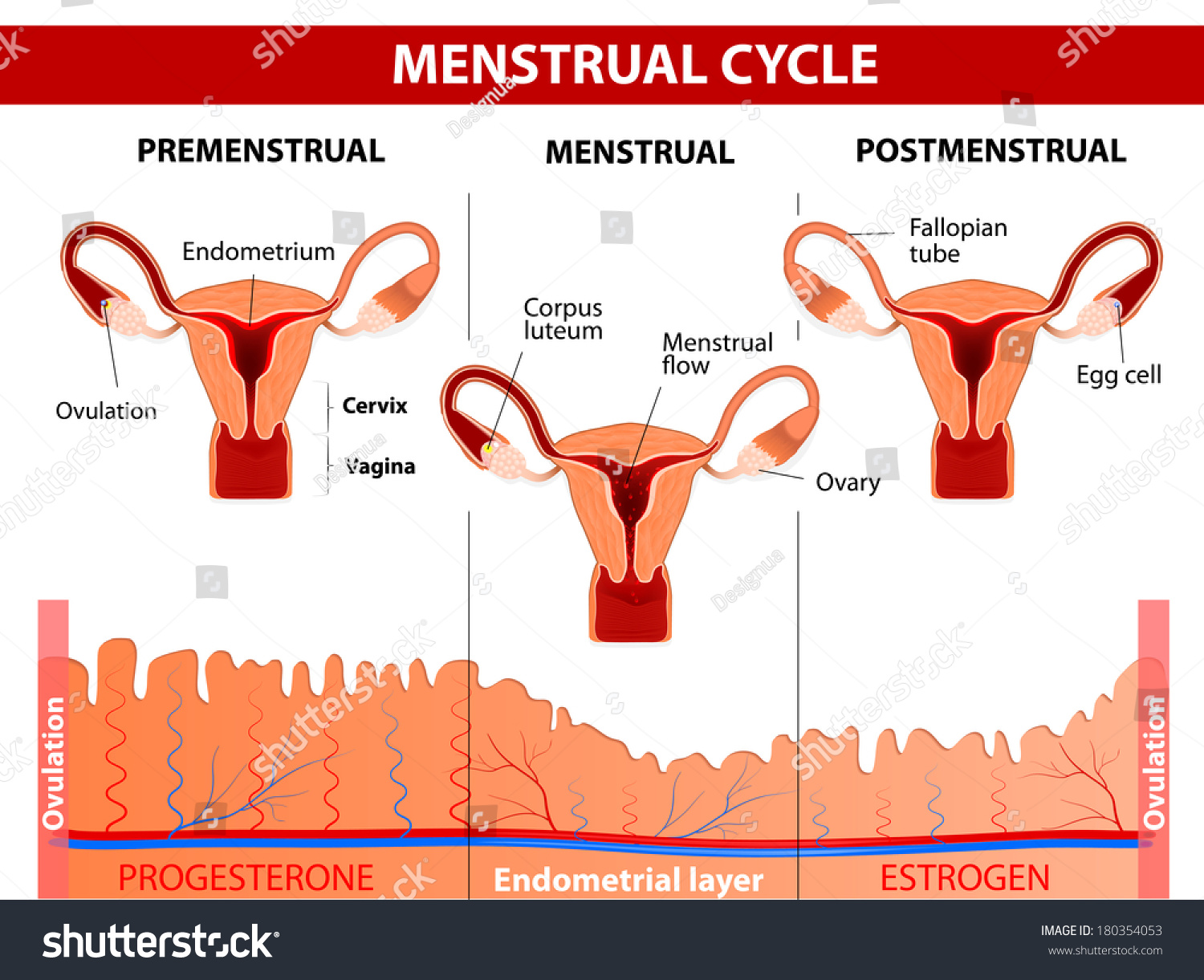 Menstrual Cycle Menstruation Follicle Phase Ovulation