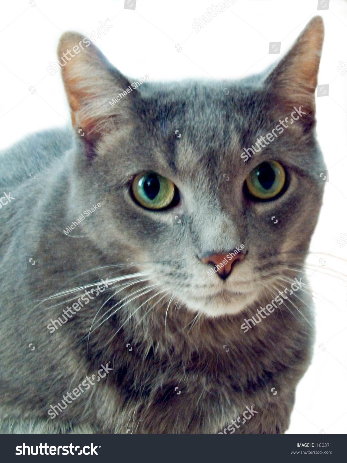 Russian Blue Cat Mixed Breed Stock Shutterstock