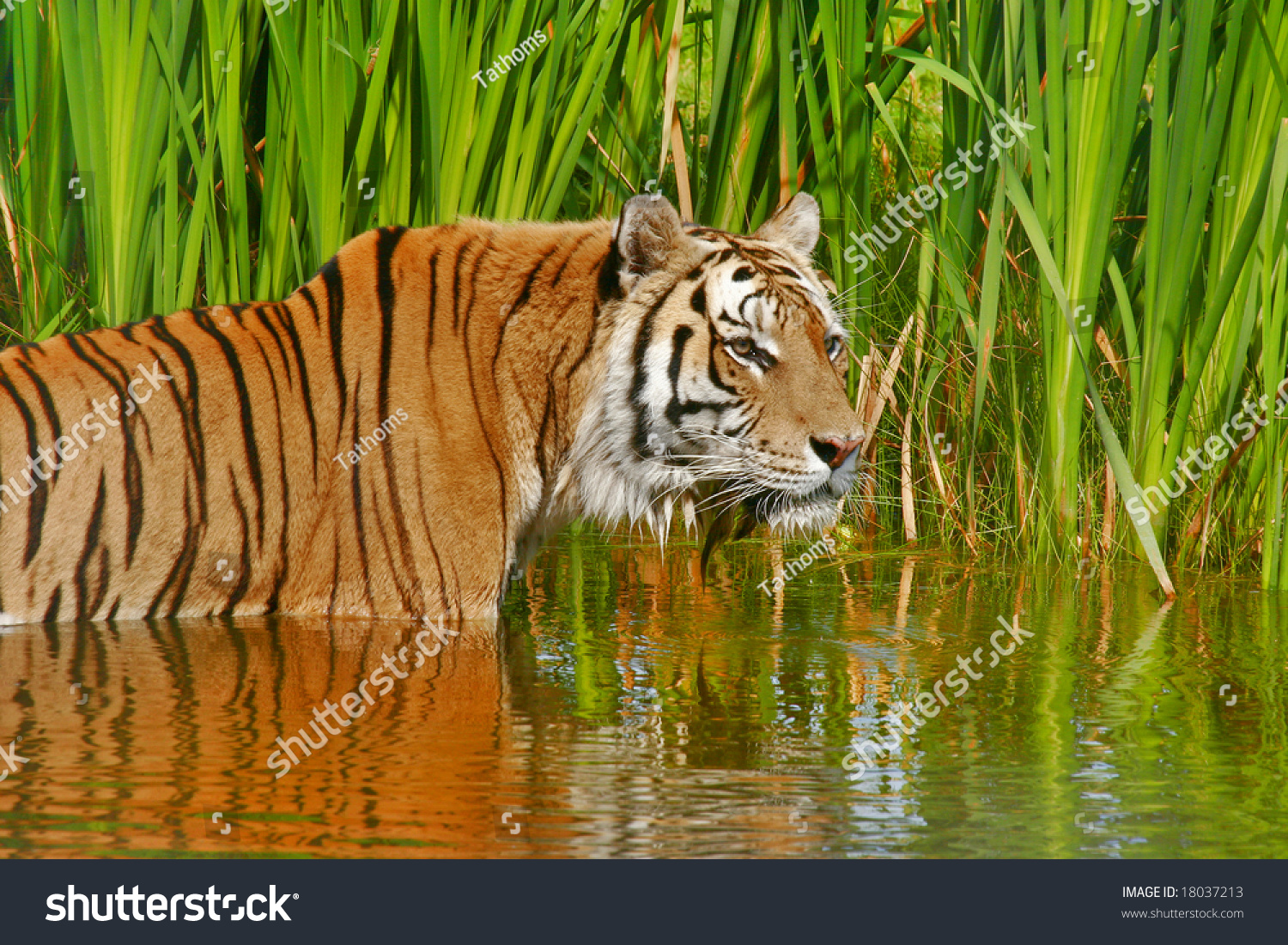 stock-photo-siberian-tiger-cooling-down-