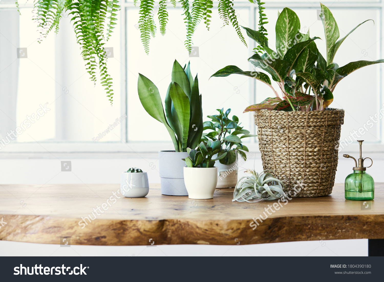 Modern composition of home garden filled a lot of beautiful plants, cacti, succulents, air plant in different design pots. Stylish botany interior. . Home gardening concept. Template. #1804390180
