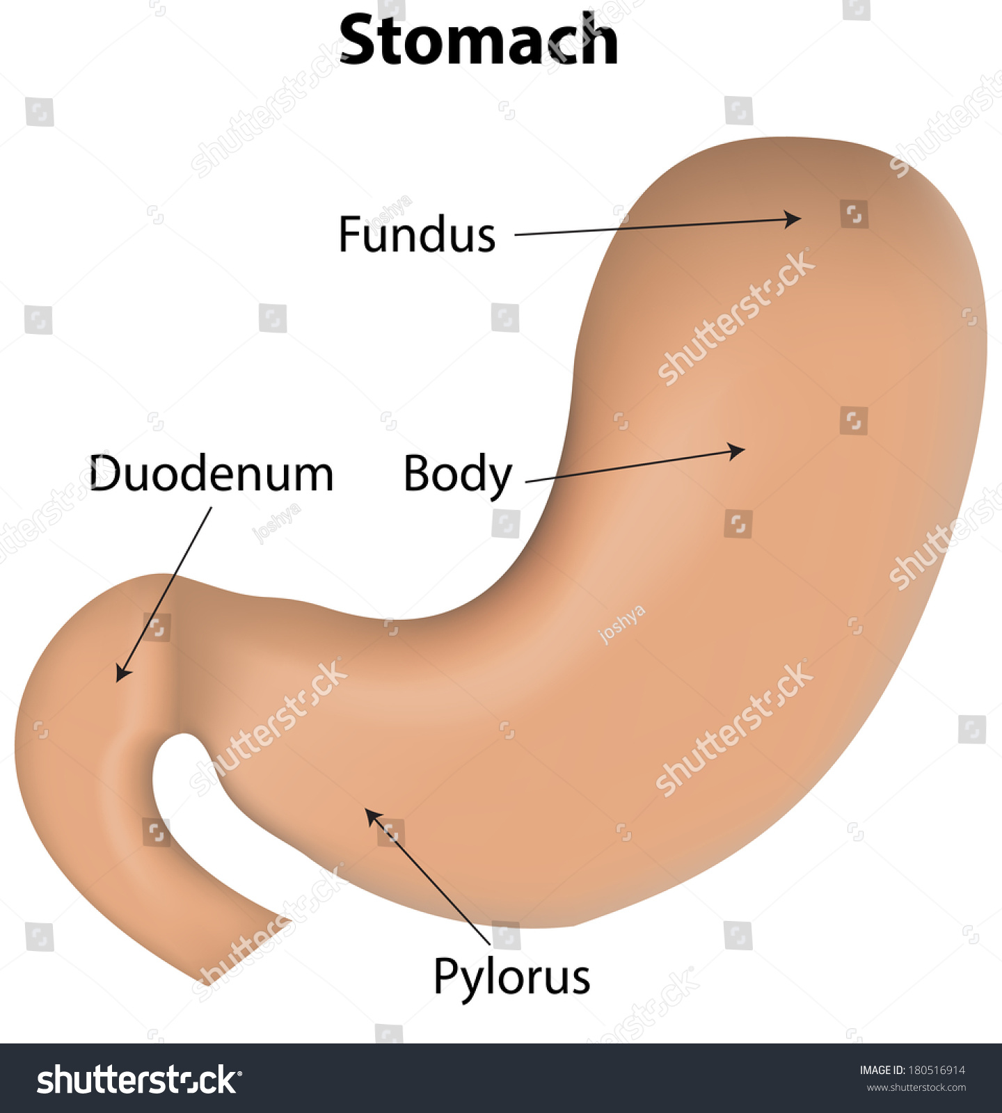 Stomach    Labeled    Diagram    Stock Vector 180516914  Shutterstock