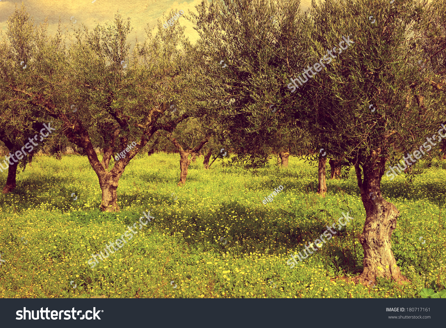 Olive Garden Green Grass Greece Kalamata Stock Photo 180717161 ...