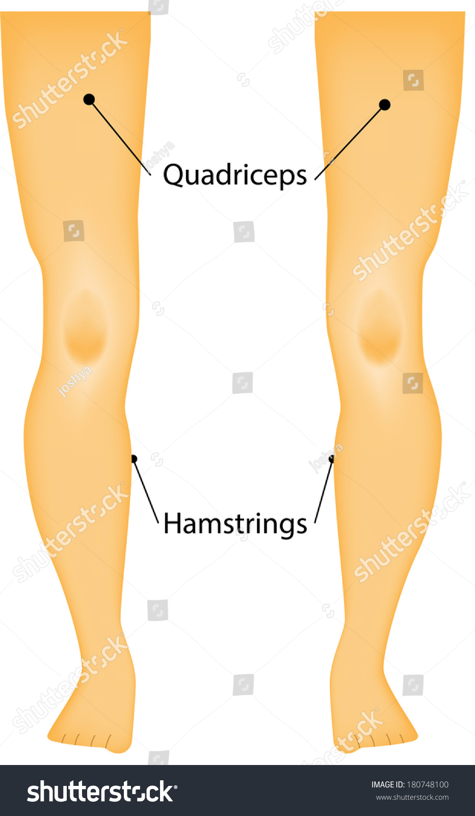 Labeled Muscles Legs Diagram Stock Vector 180748100 - Shutterstock