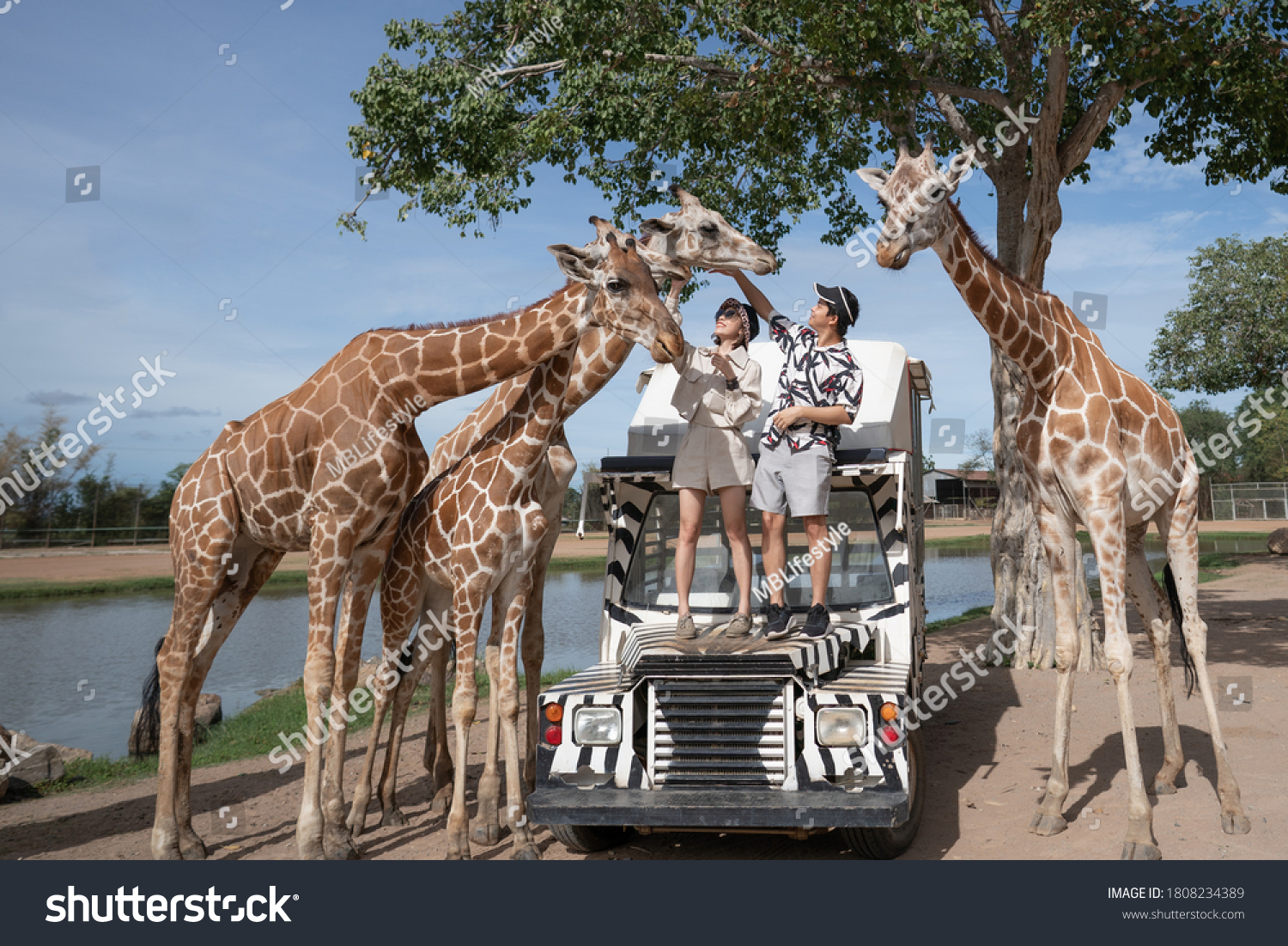 Couple taking a bus tour, feeding and playing with giraffe on safari open park zoo. #1808234389