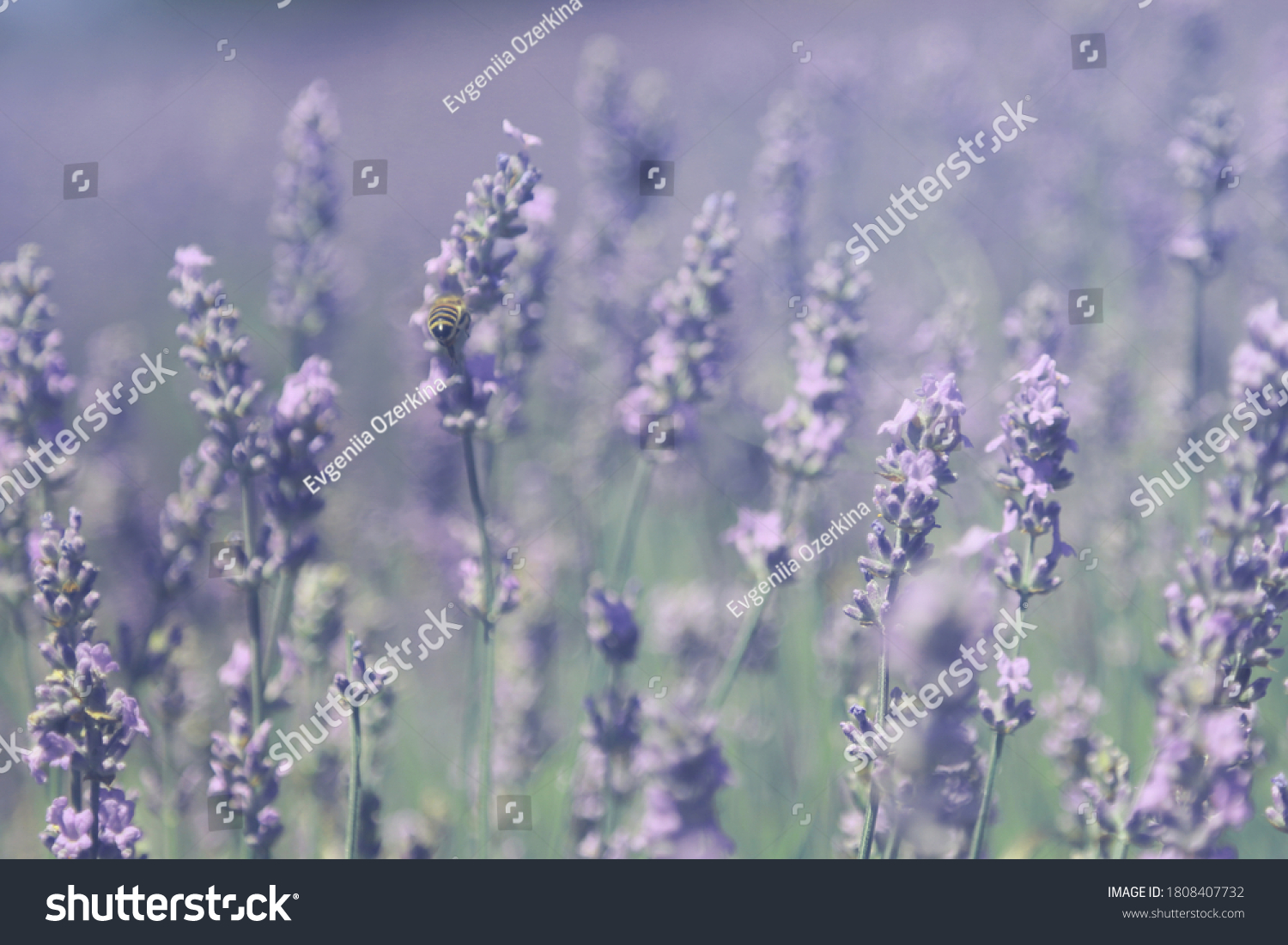 stock-photo-a-field-lavender-is-in-the-m