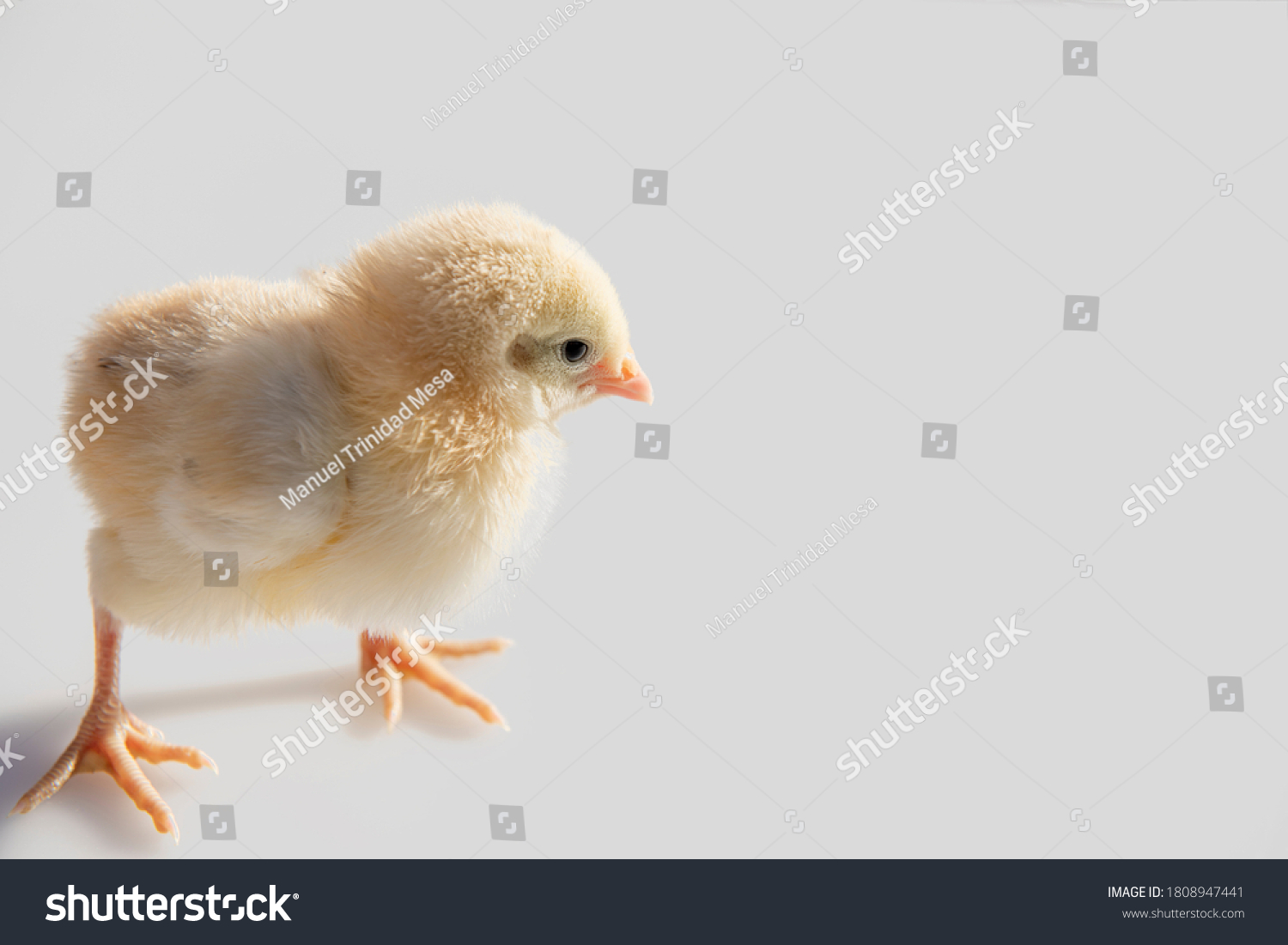 stock-photo-chick-only-a-few-days-old-is