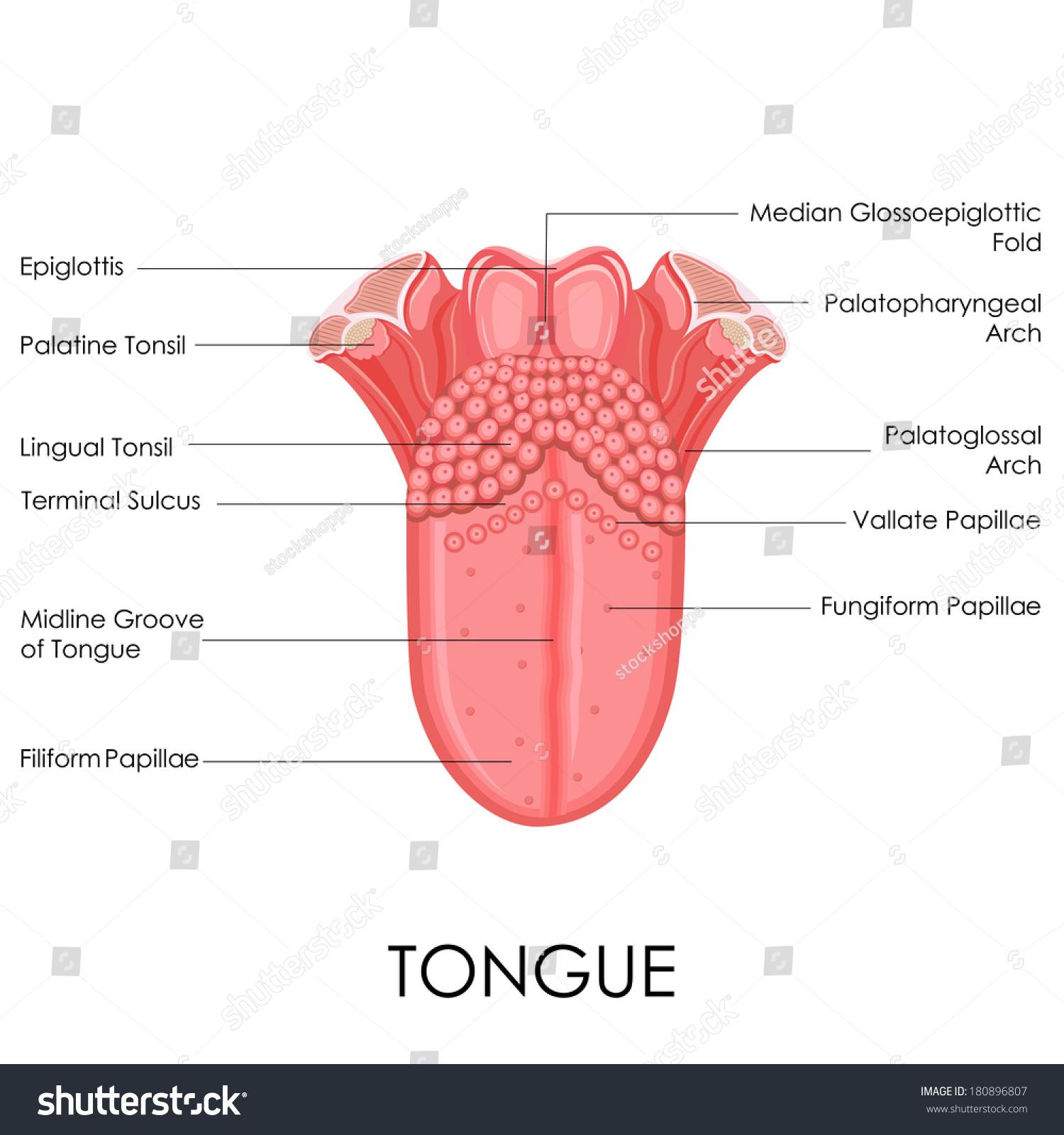 Tongue Illustration