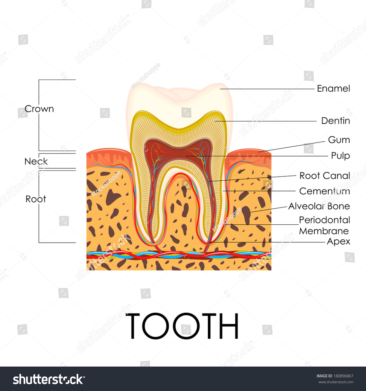 Vector Illustration Human Tooth Anatomy Stock Vector Royalty Free