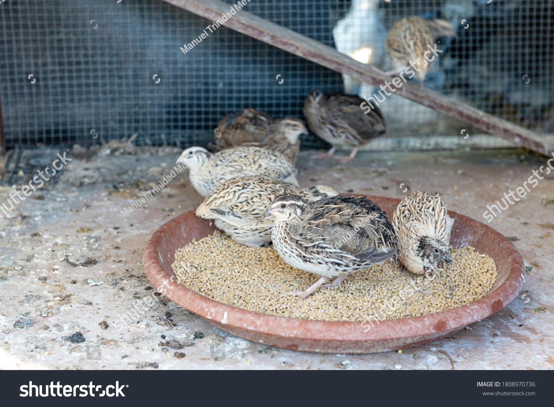 stock-photo-domestic-quail-eating-granul
