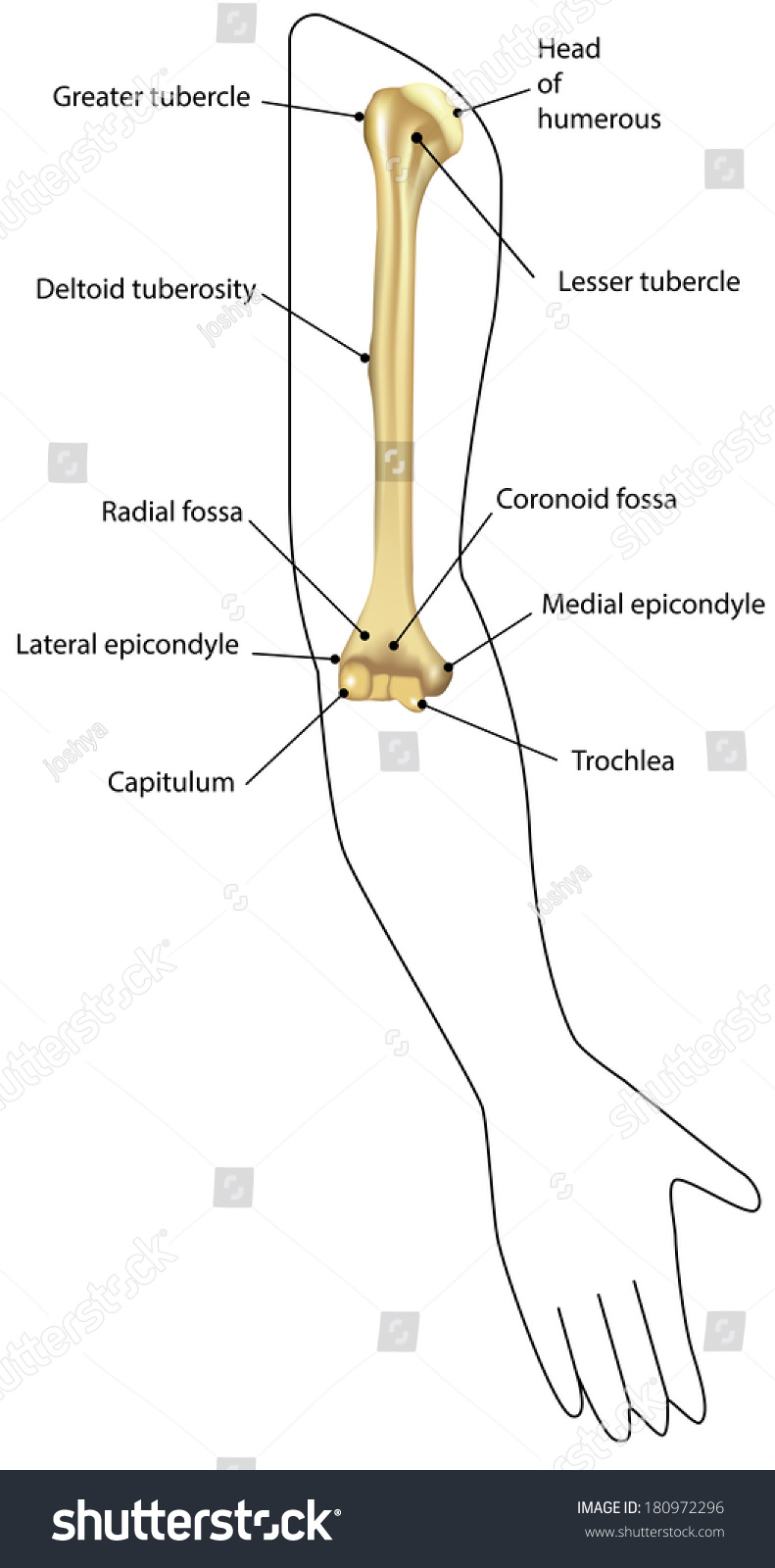 Anatomy Humerus Situ Labeled Diagram Stock Vector 180972296 ...