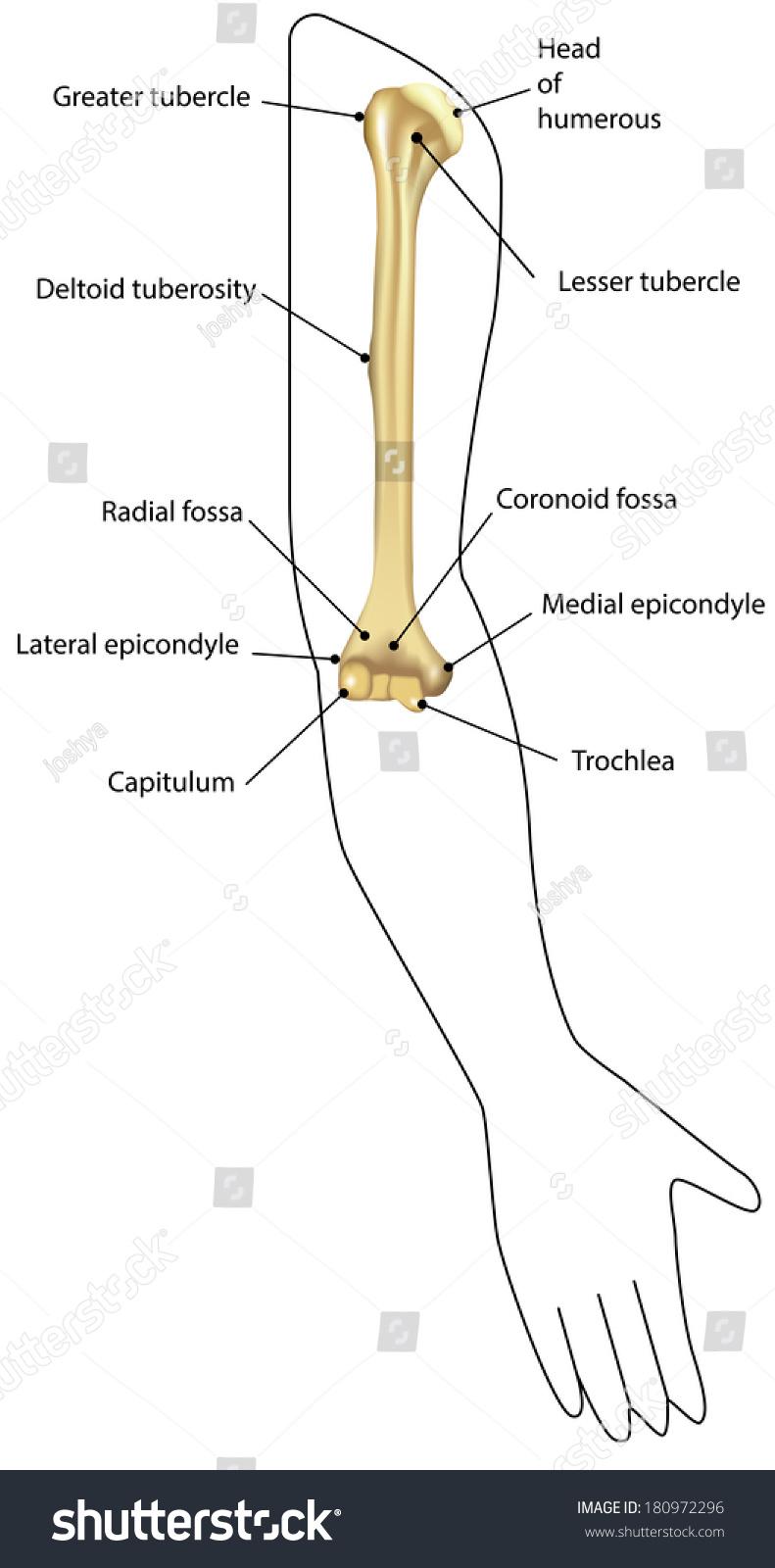 Anatomy Humerus Situ Labeled Diagram Stock Vector 180972296 ...