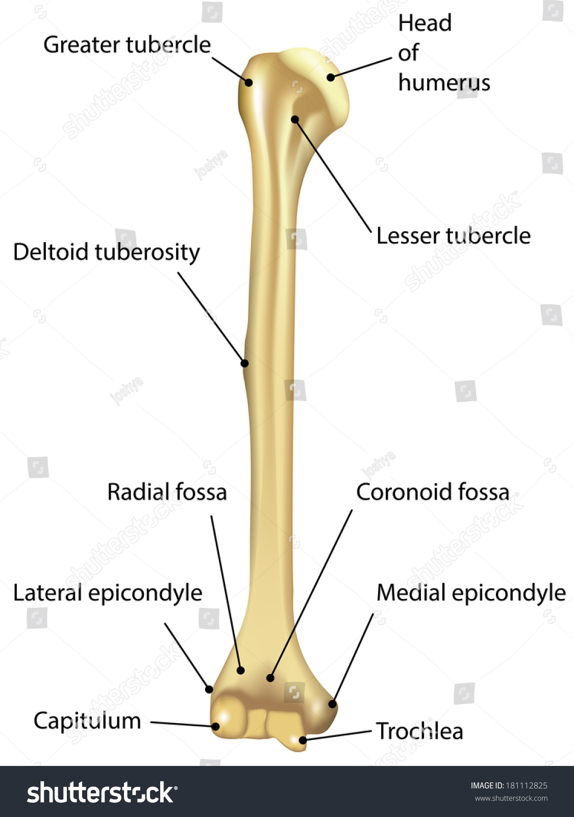 Humerus Labeled Diagram Stock Illustration 181112825 Shutterstock