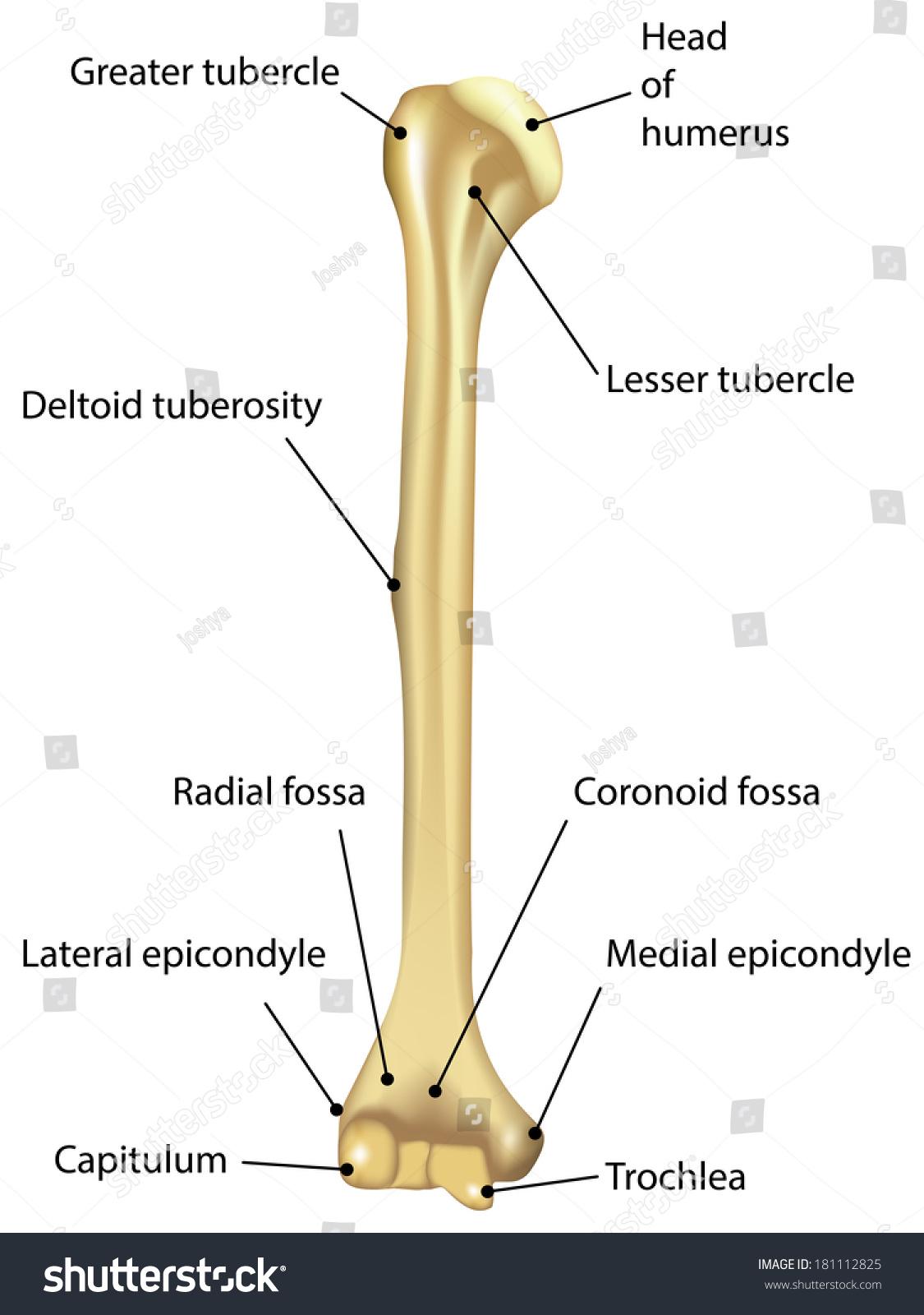 humerus labeled diagram stock photo 181112825 shutterstock : diagram of humerus - findchart.co