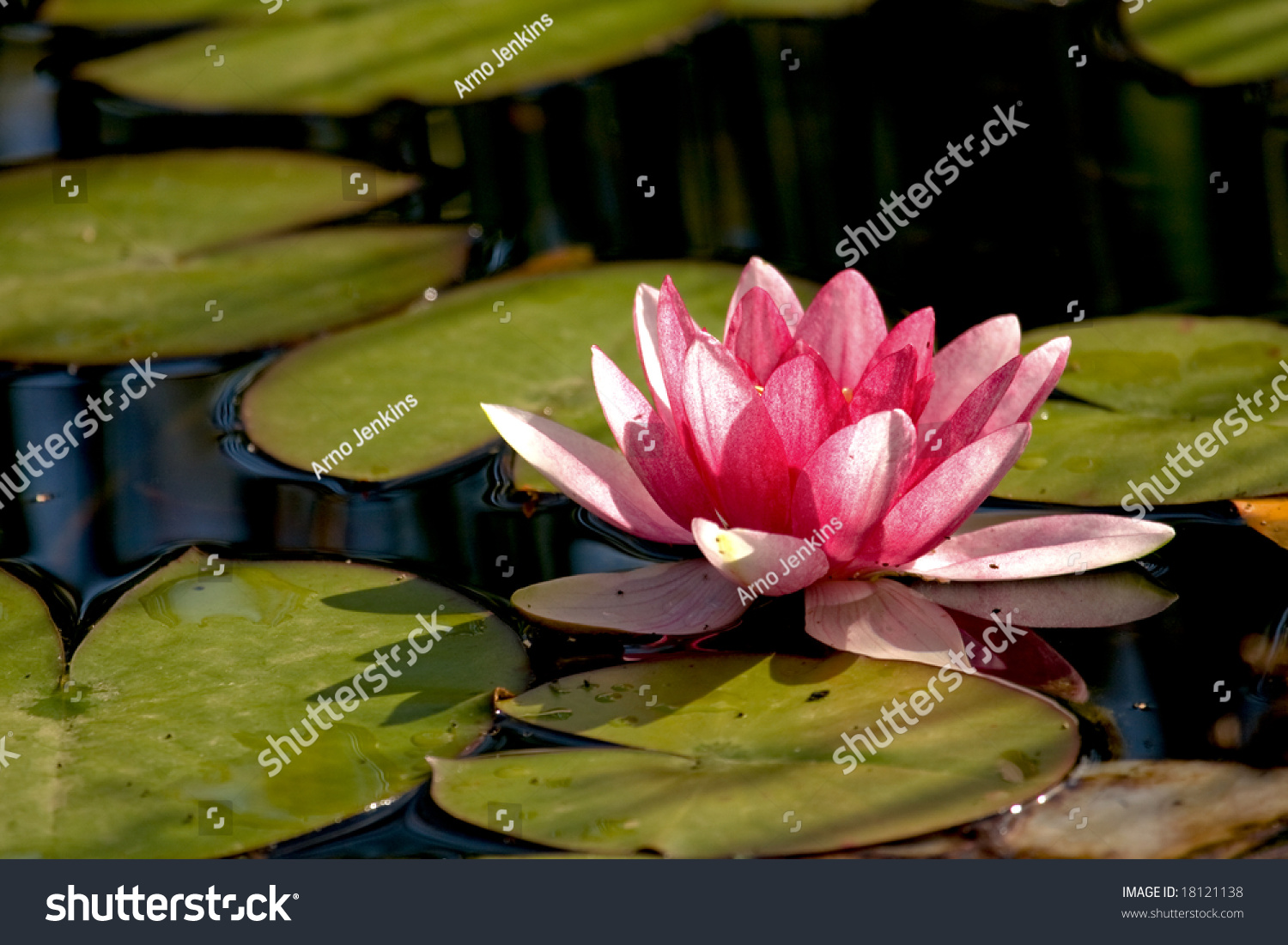 Lilly pad pond pink flower stock photo edit now 18121138 lilly pad in a pond with a pink flower izmirmasajfo