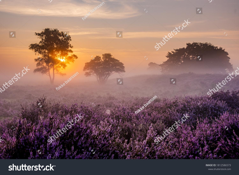 Blooming Heather fields, purple pink heather in bloom, blooming heater on the Veluwe Zuiderheide park , Netherlands. Holland #1812586573